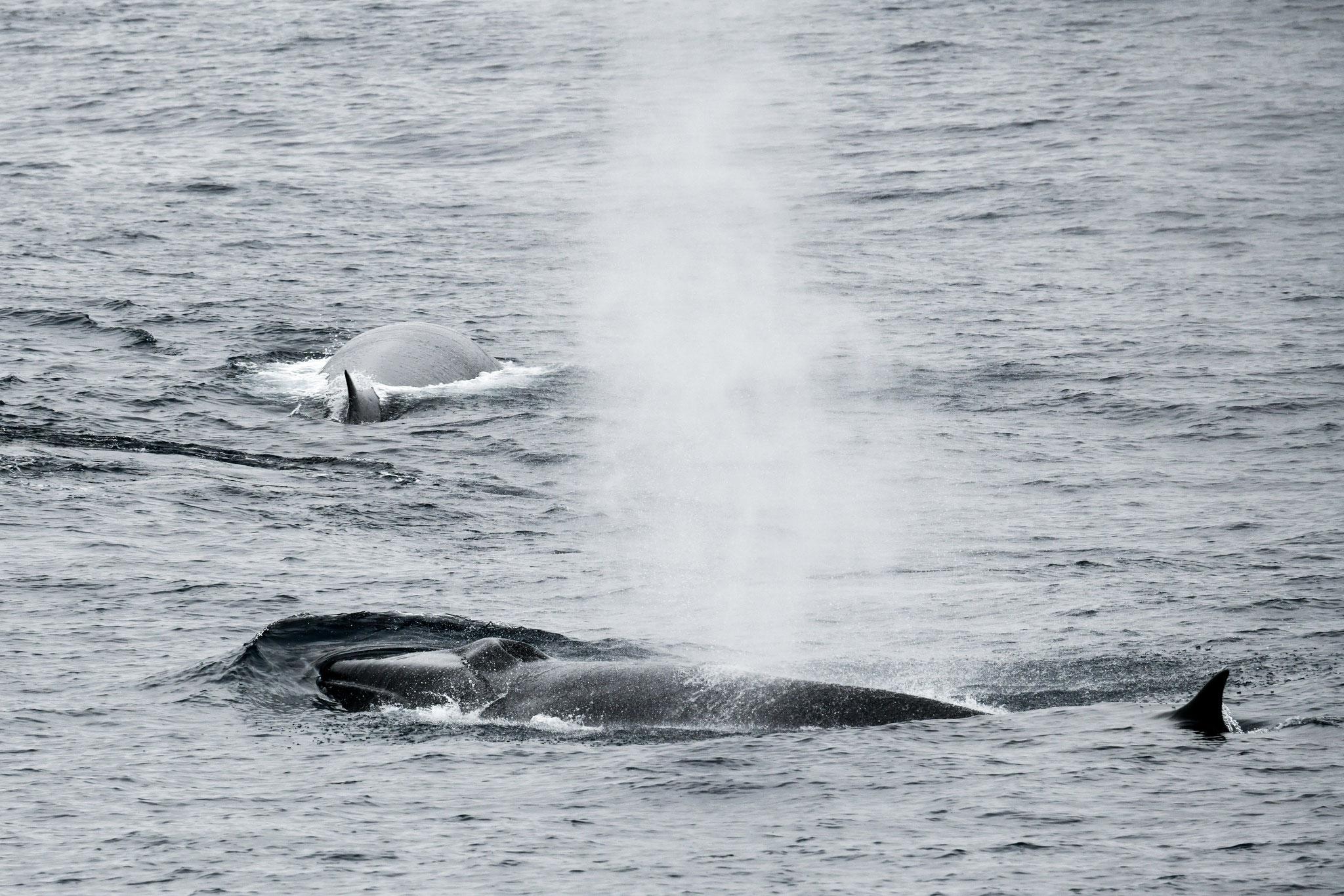 ナガスクジラ FIN WHALES