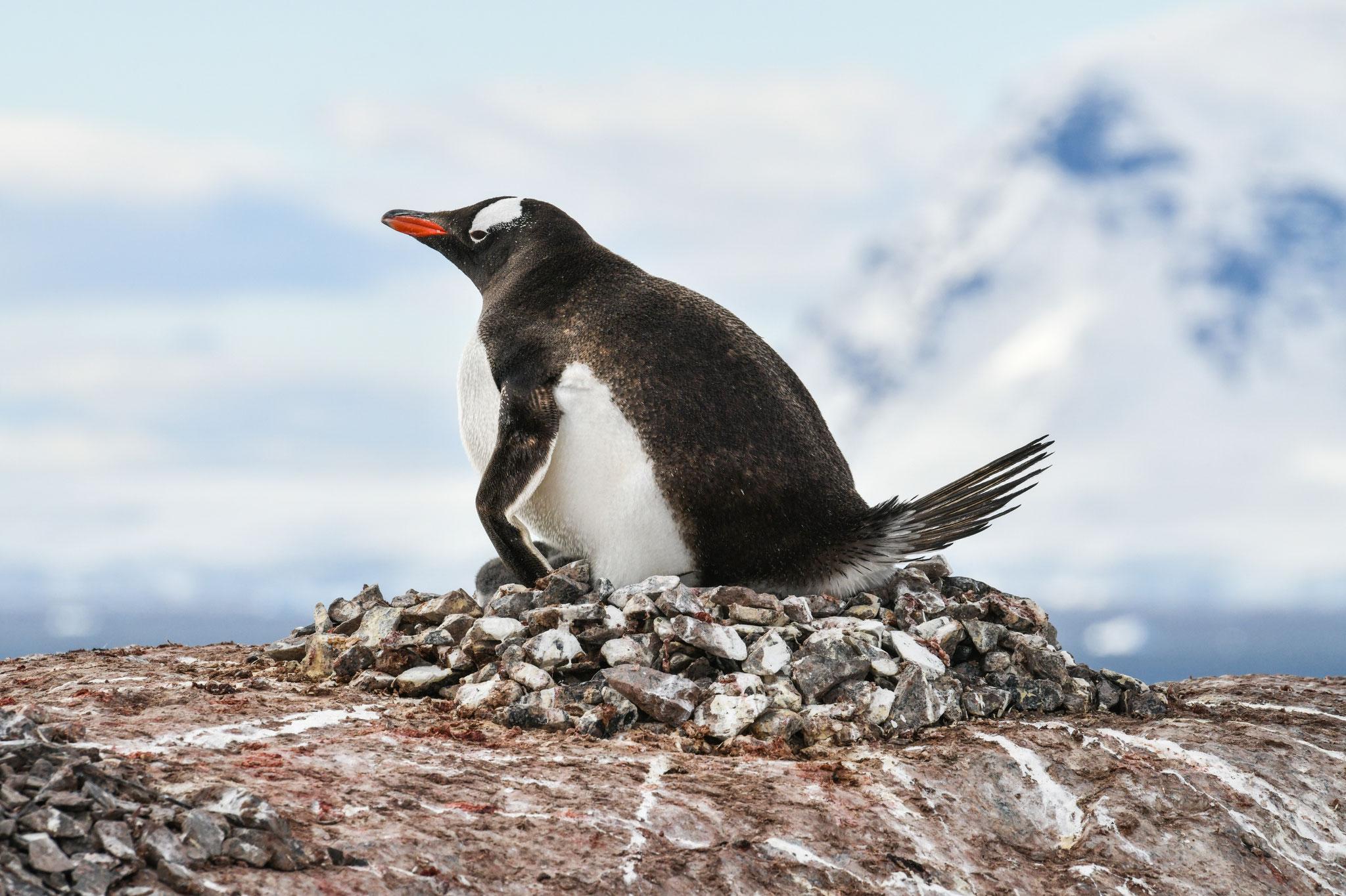 卵を温めている ジェンツーペンギン