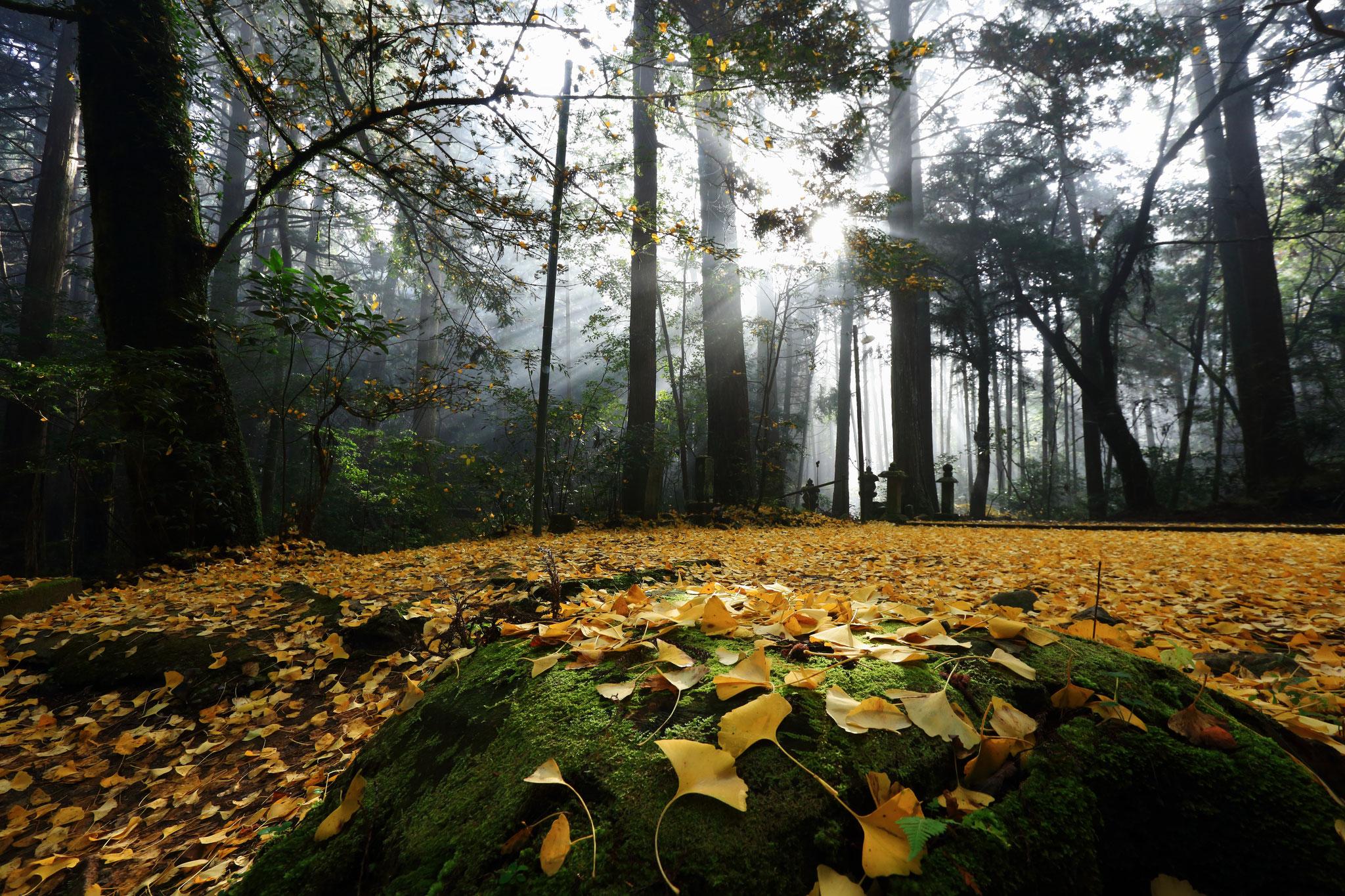 黄色の絨毯の上で朝陽が降り注ぐ(11/30 熊本県あさぎり町)