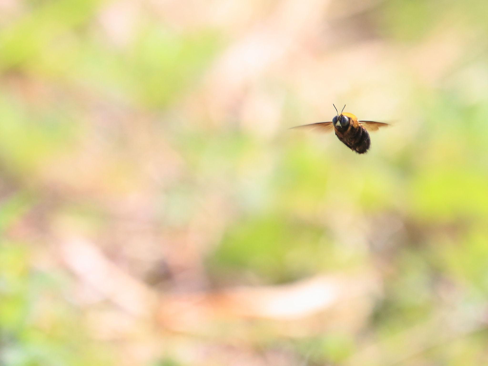 ホバリングするクマバチ