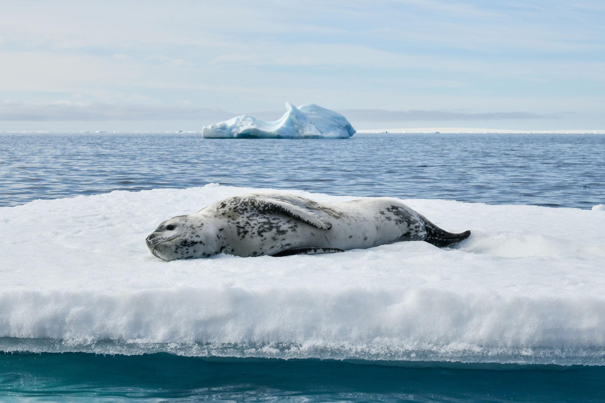 南極王者も休憩中 ヒョウアザラシ