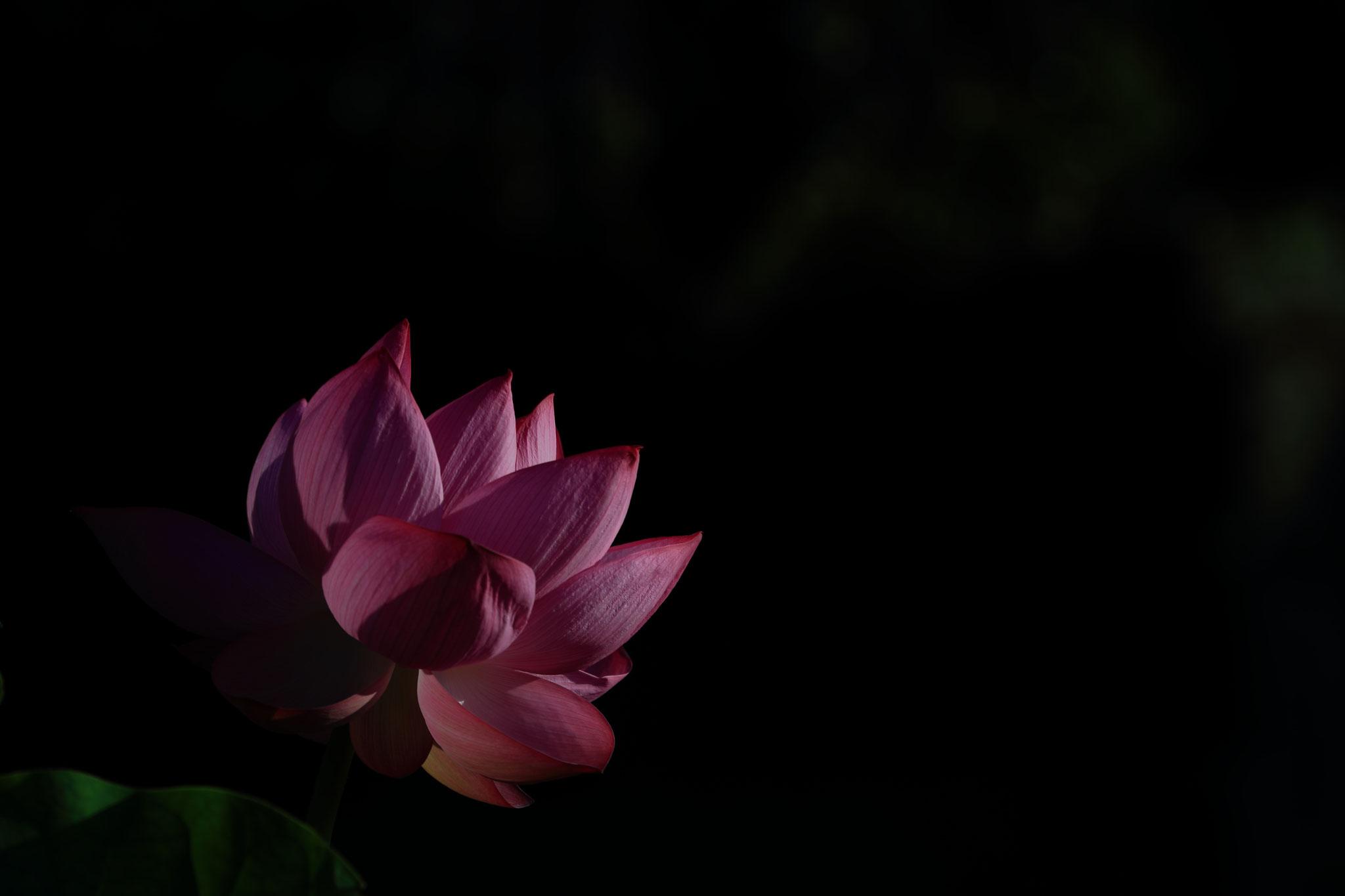 光に浮かぶ花の姿(7/18 串良町)