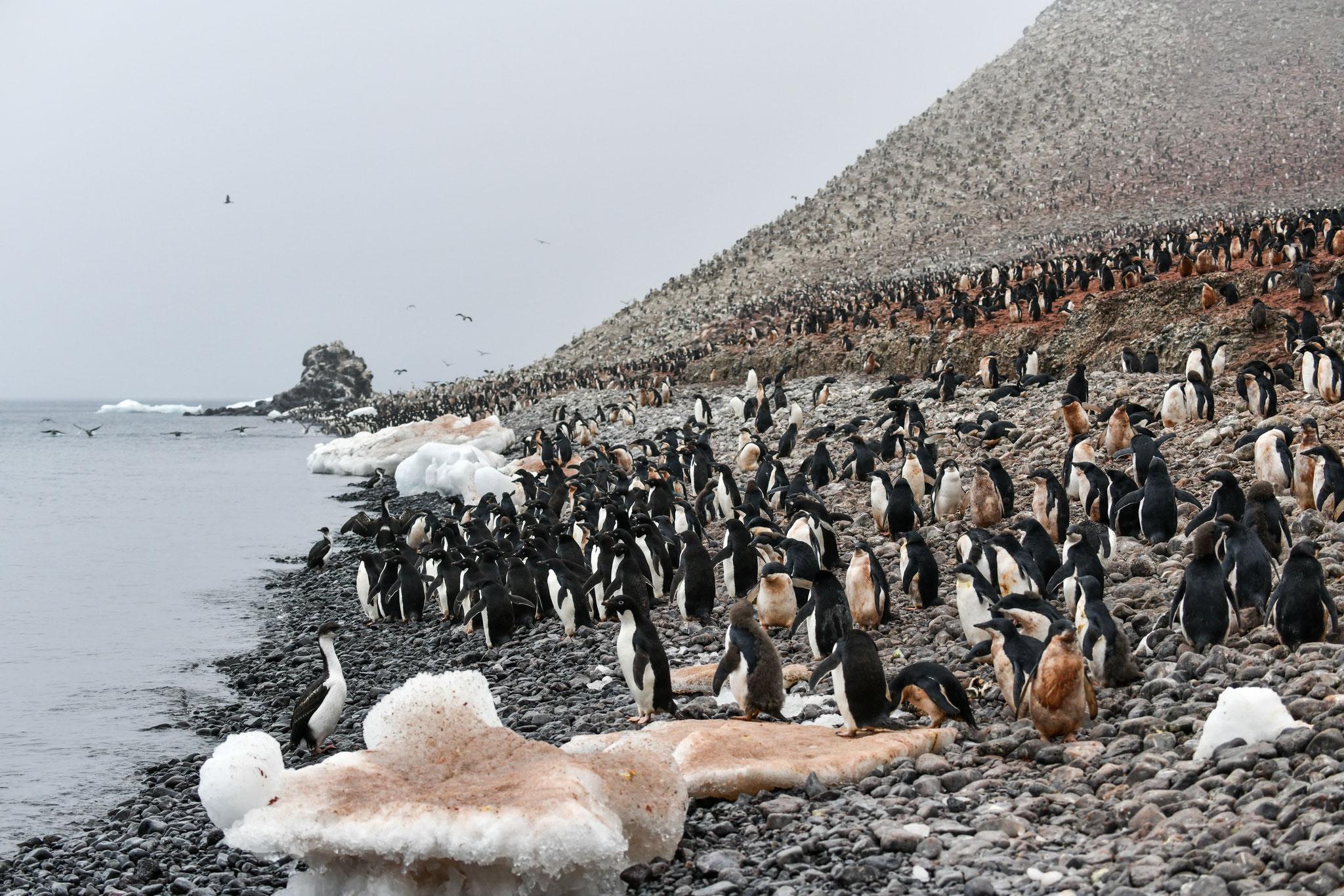崖の上までびっしりと アデリーペンギン