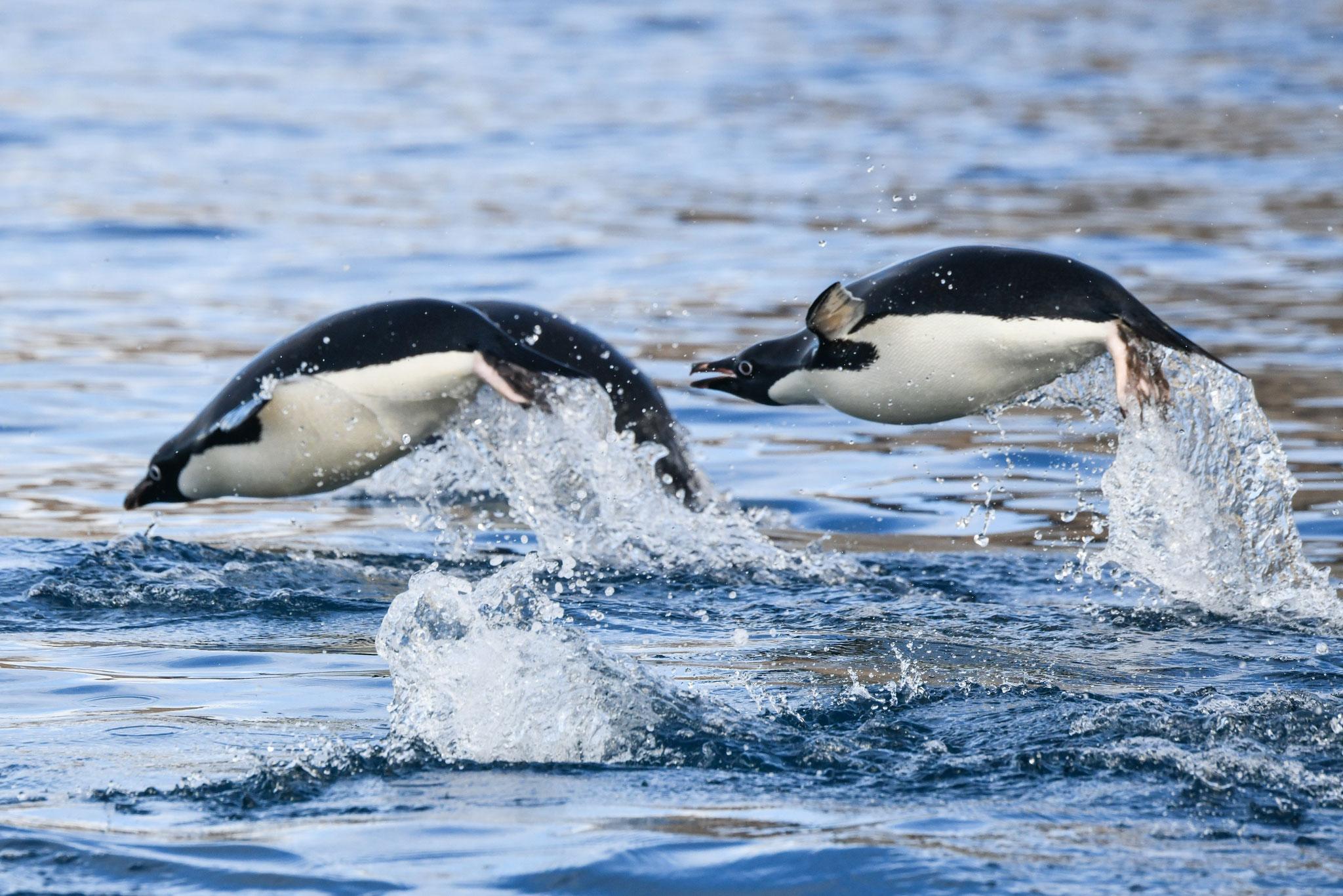 まるで空を飛んでいるよう アデリーペンギン