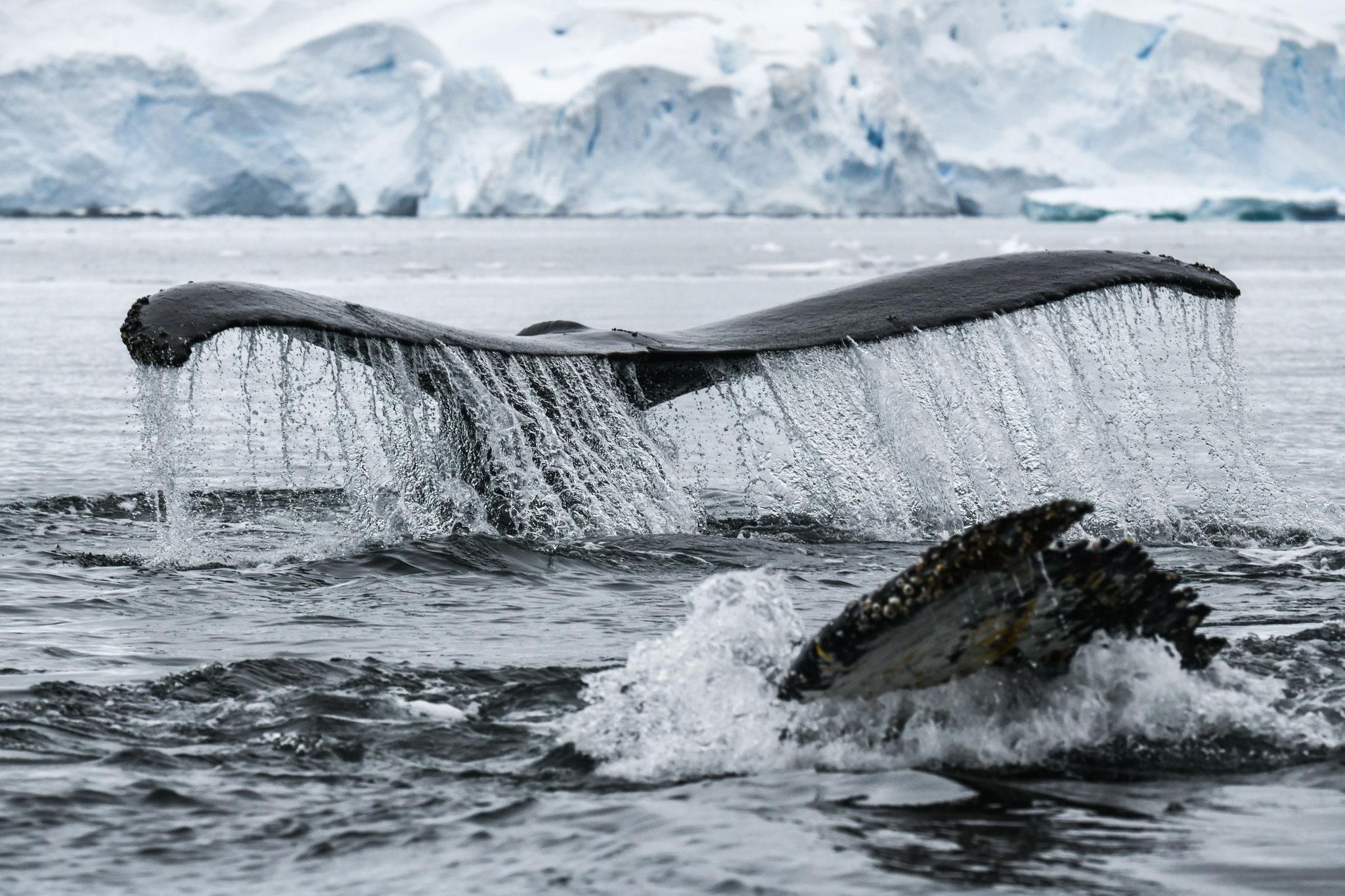 ザトウクジラ HUMPBACK WHALES