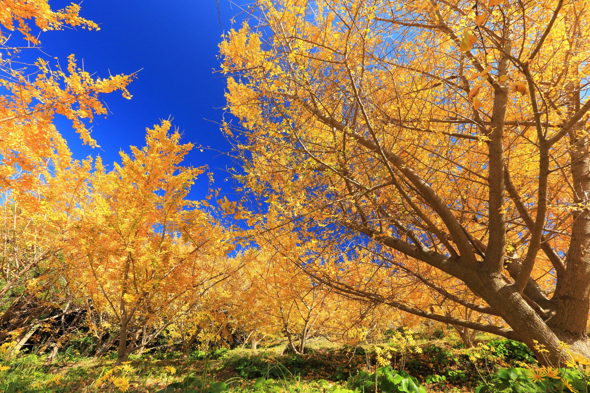 広がる黄色の世界(垂水市の千本いちょう)
