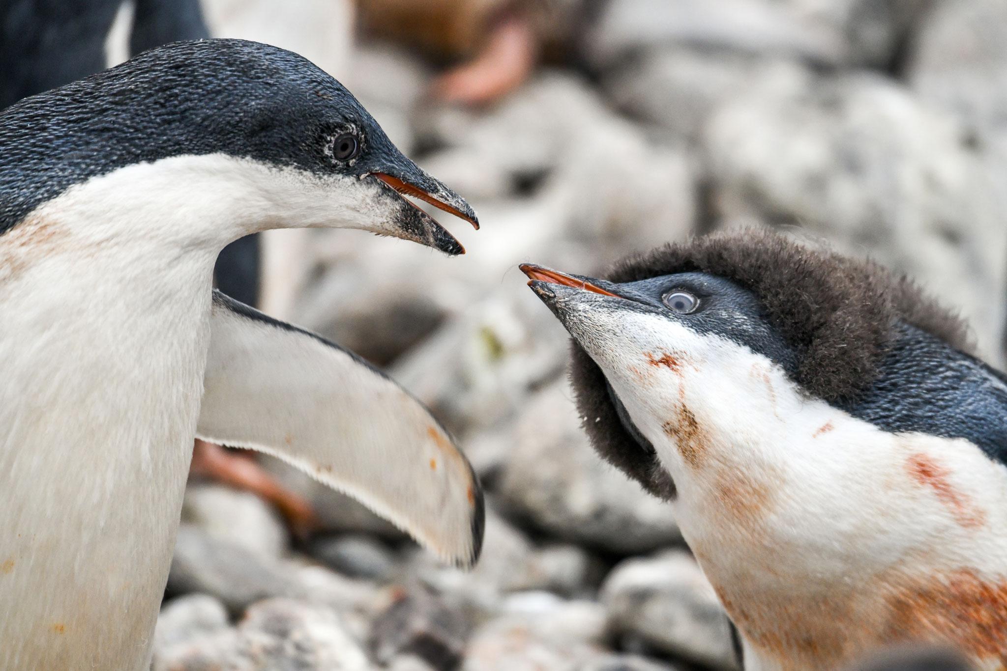 話をしているみたい アデリーペンギン