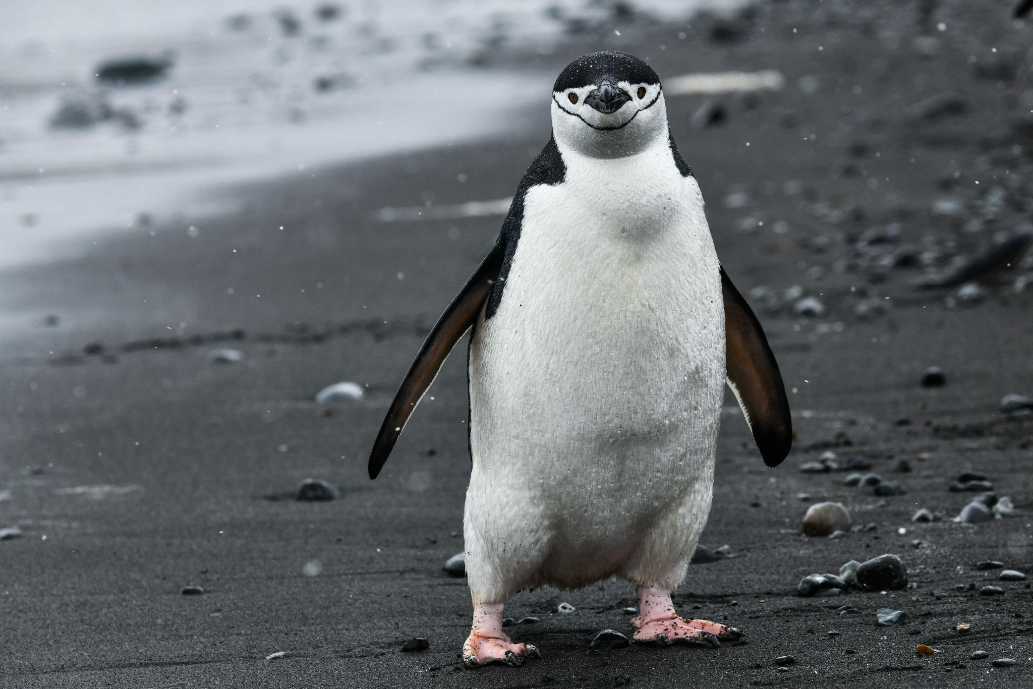 アゴヒゲがくっきり アゴヒゲペンギン