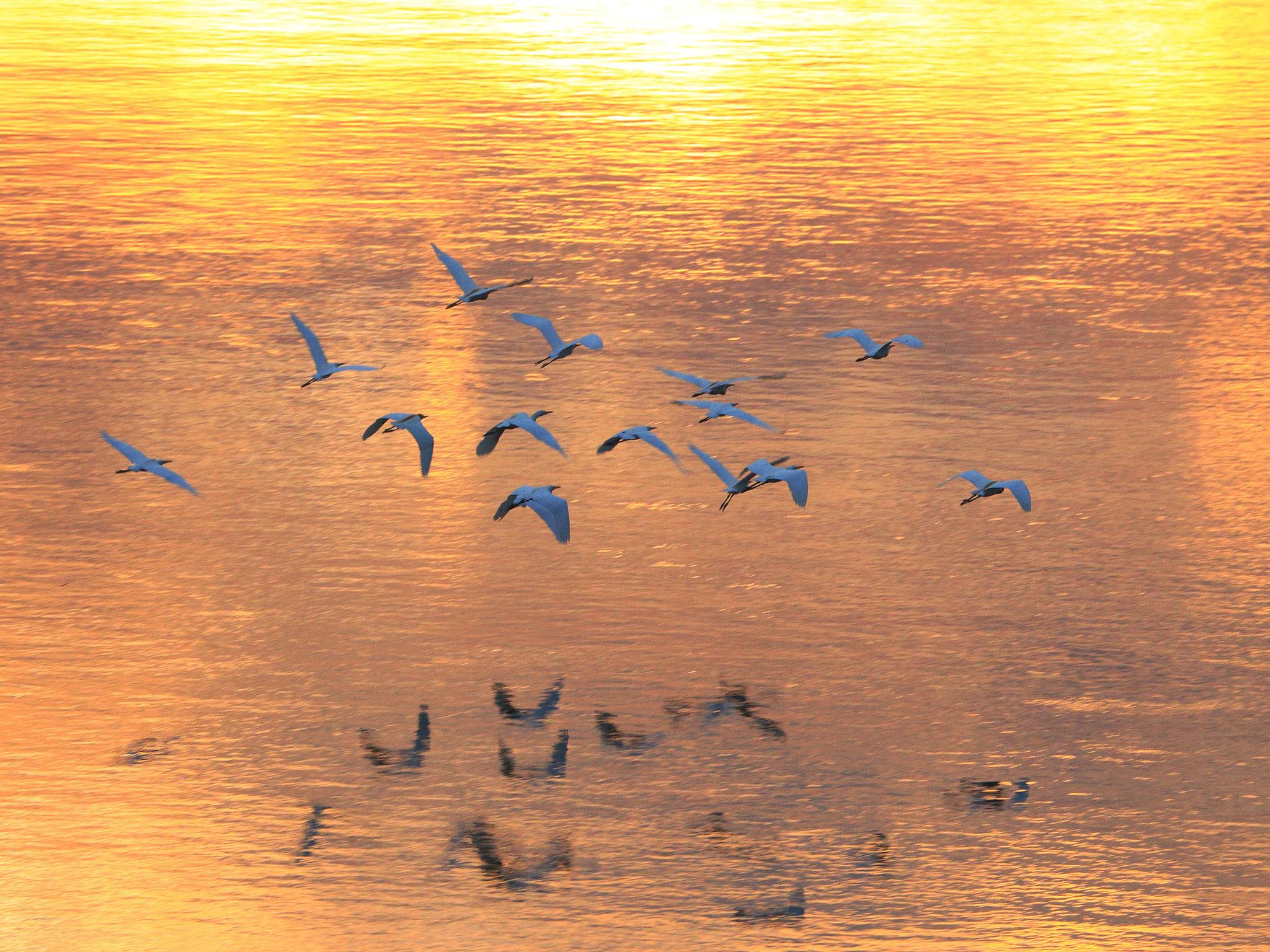 煌めく夕焼けの川を飛んで行くアマサギ(6/30 池之園橋)