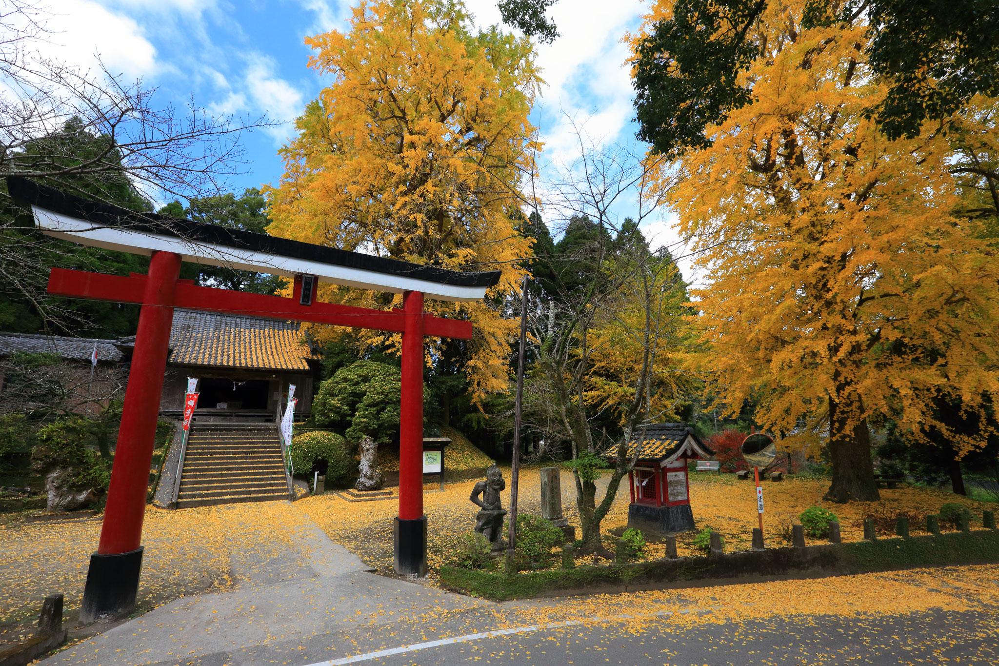 旗山神社が黄色に染まる(12/1 錦江町)