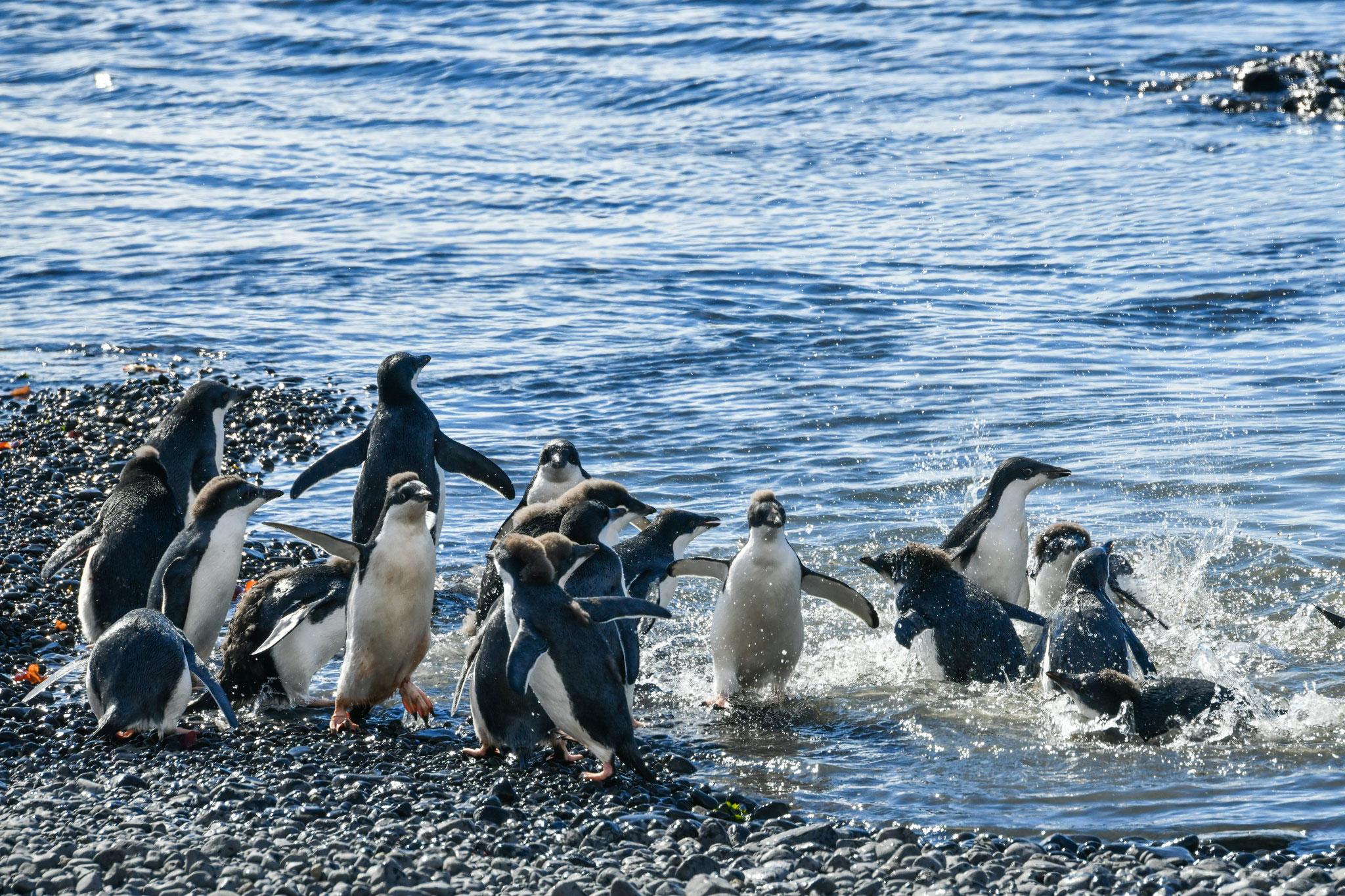 ヒナたちの泳ぎはじめ アデリーペンギン