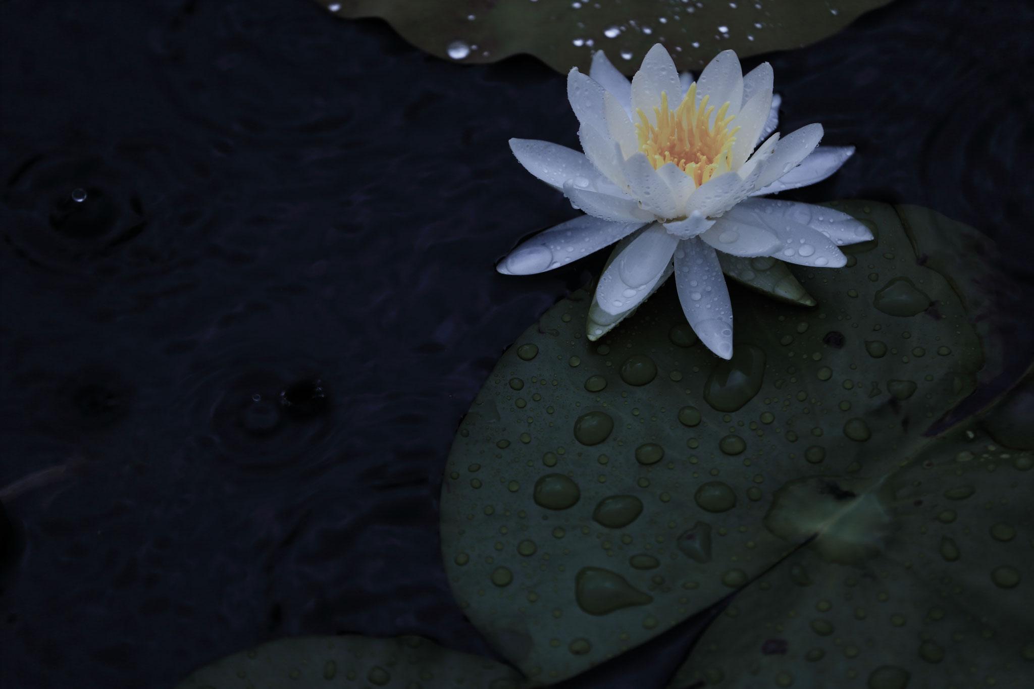 雨が似合う睡蓮(6/27 志布志市)