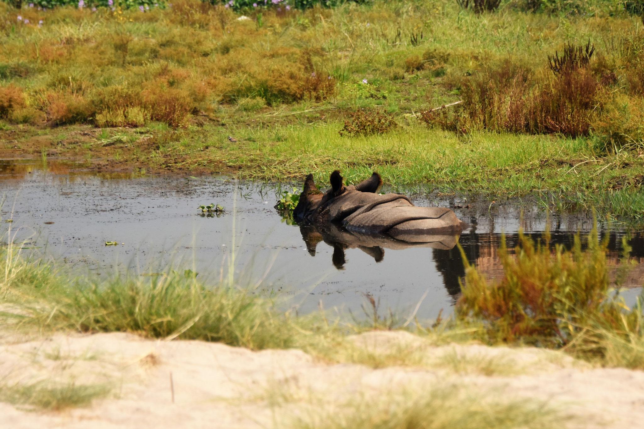 Nilpferd im Rapti-Fluss