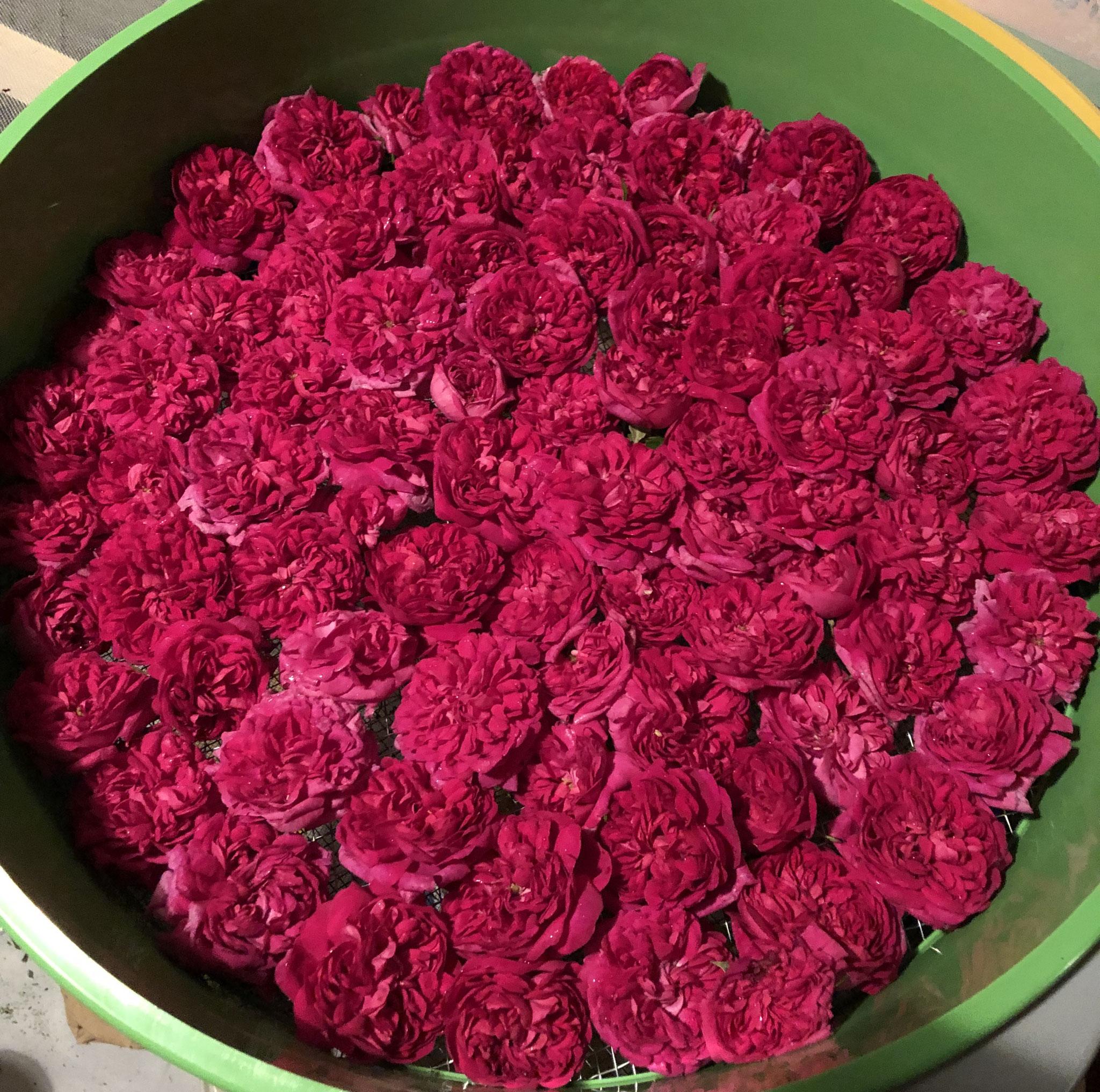 Une récolte de Rose