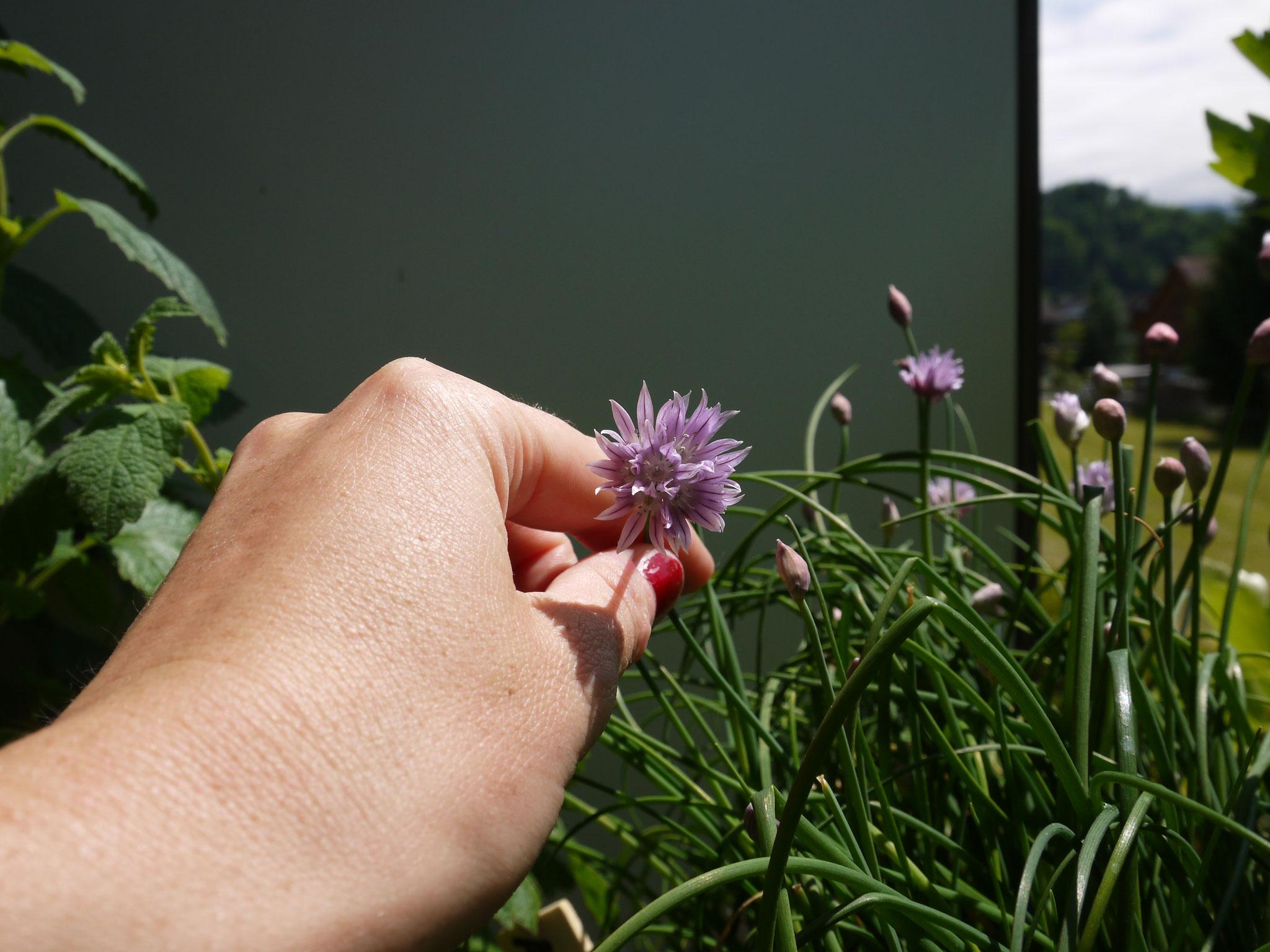 Die Blüten des Schnittlauchs sind nicht nur dekorativ, auch vitaminreich und zum Essen da.