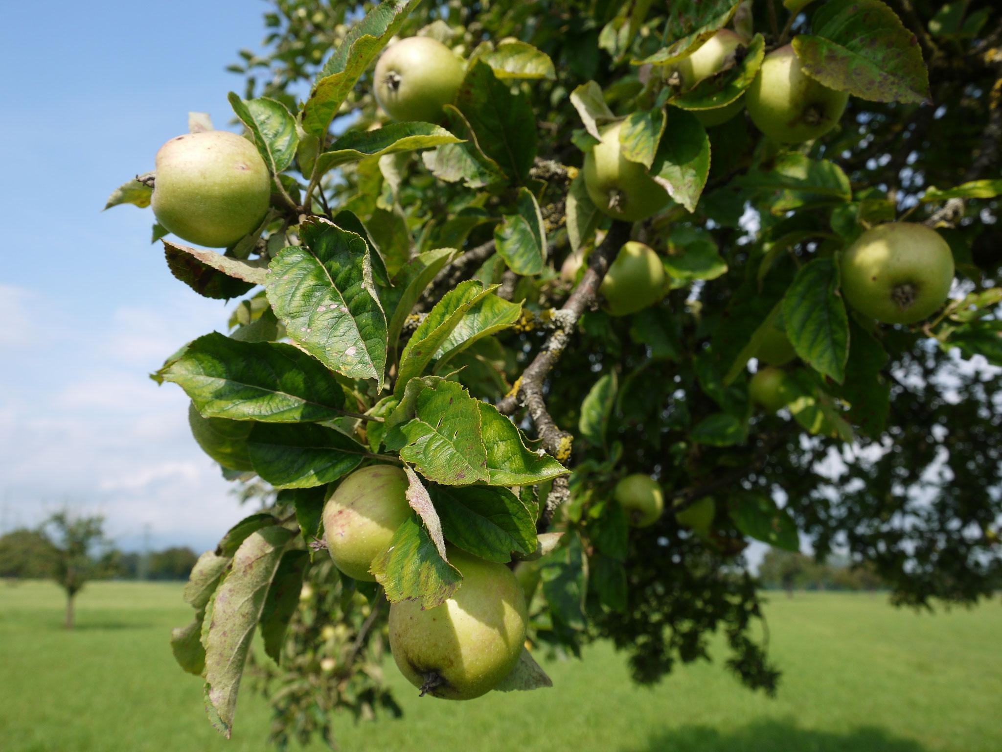 Apfel mit Kern und Schale - wahrlich ein Alleskönner.