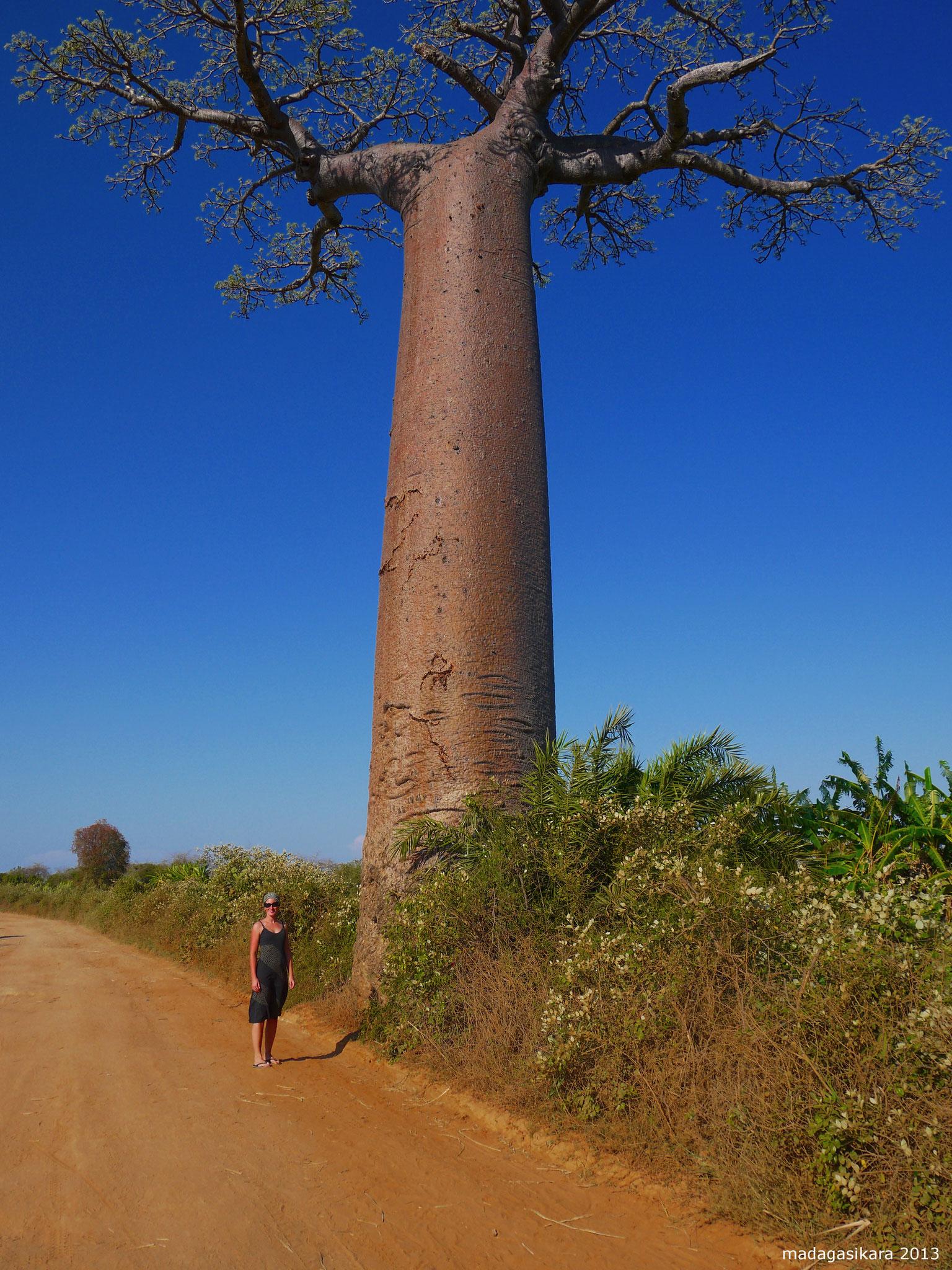 Madagaskar ist für deren selten vorkommende Tier- und Pflanzenwelt bekannt. Im Bild Baobabbaum.