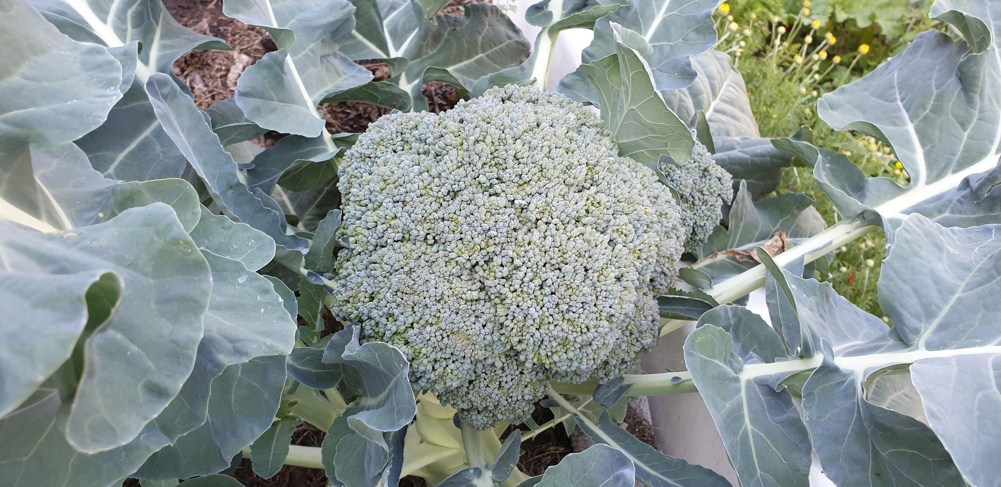 fürs erst Mal - gigantischer Broccoli