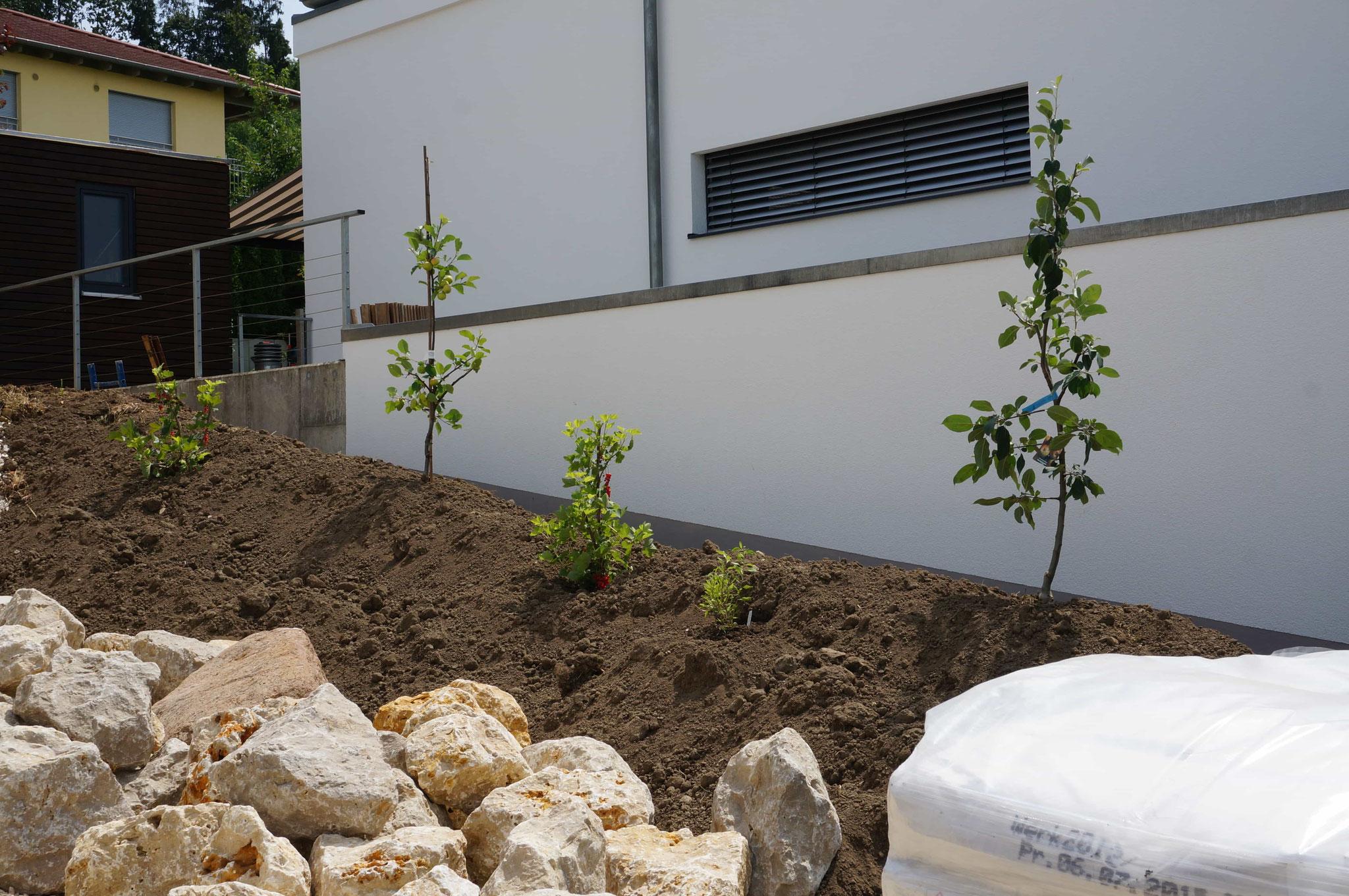 frisch gepflanzte Obstbäume