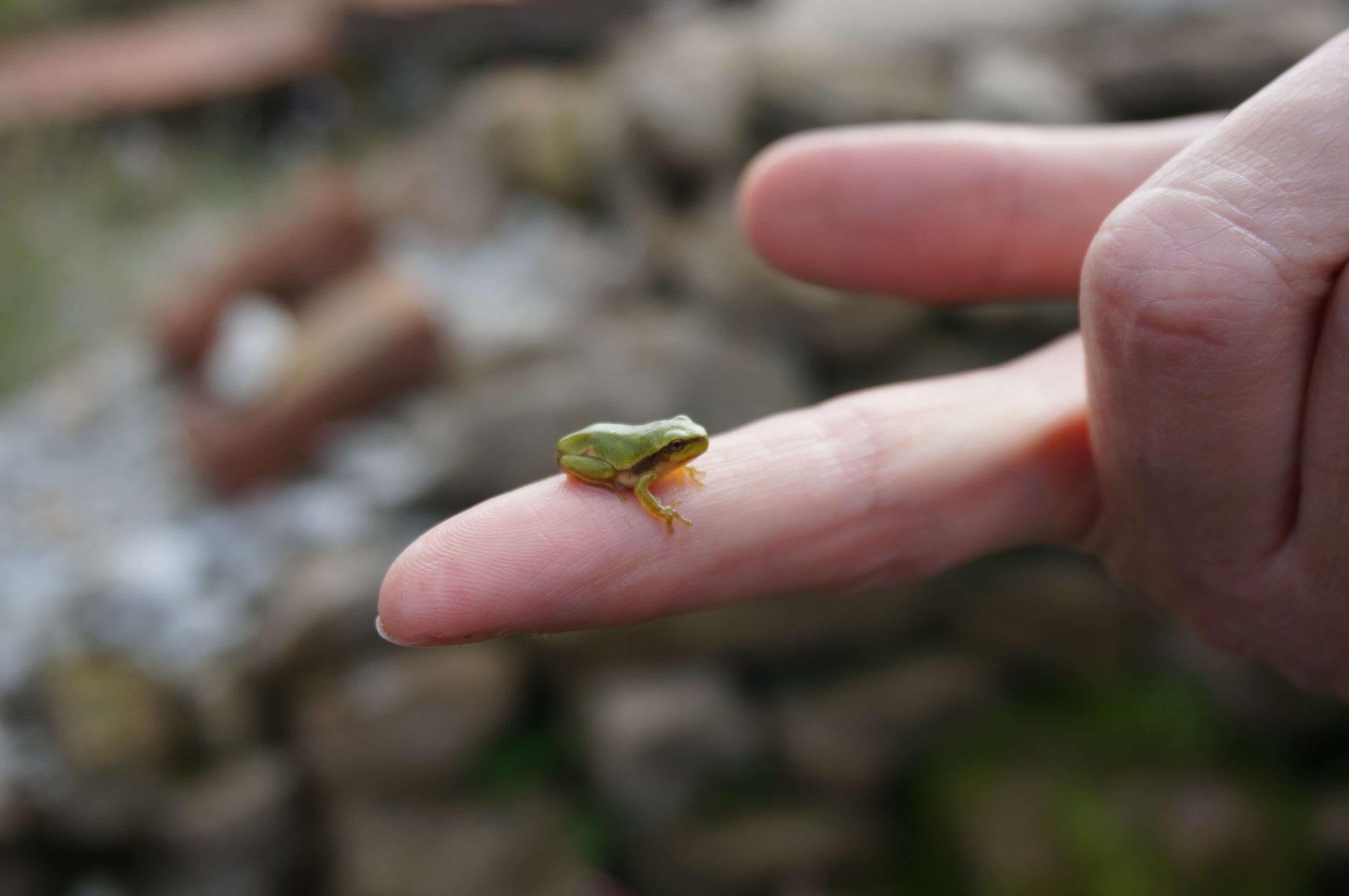 ein Winzling von Grasfrosch