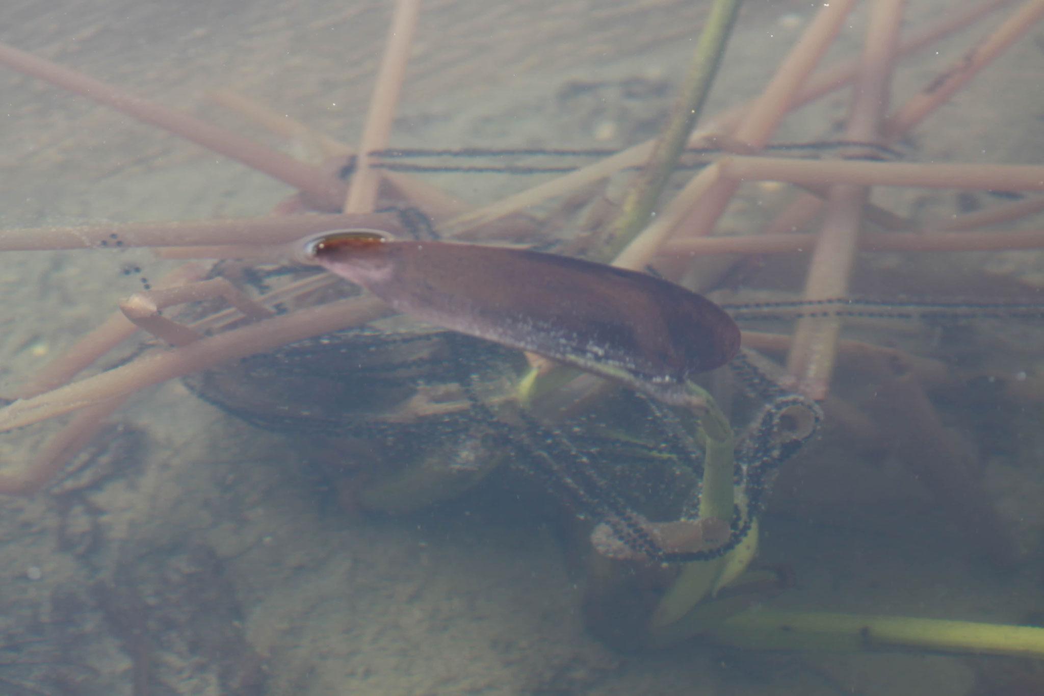 Erdkrötenlaich