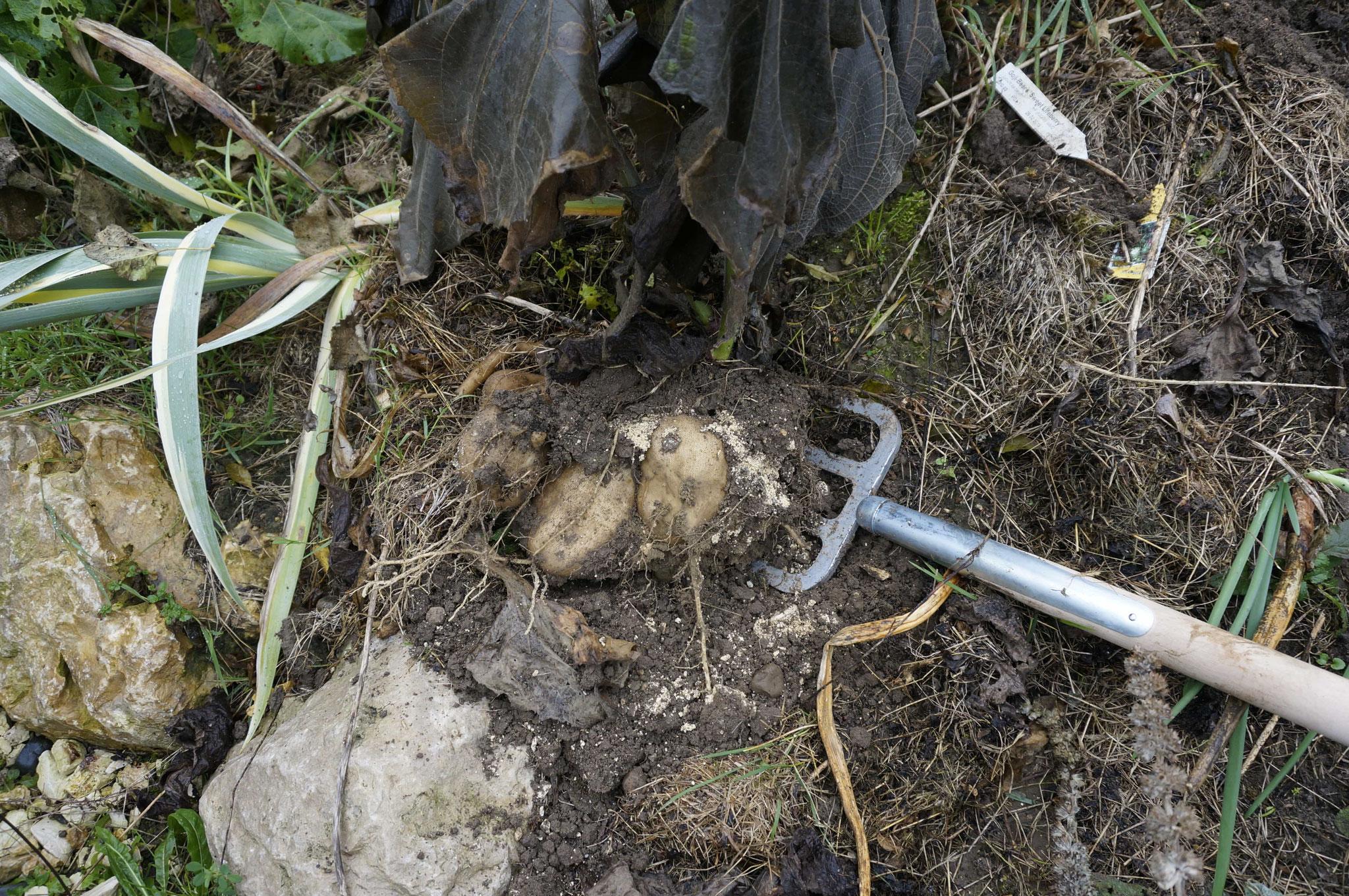 die Knollen lassen sich ausgraben