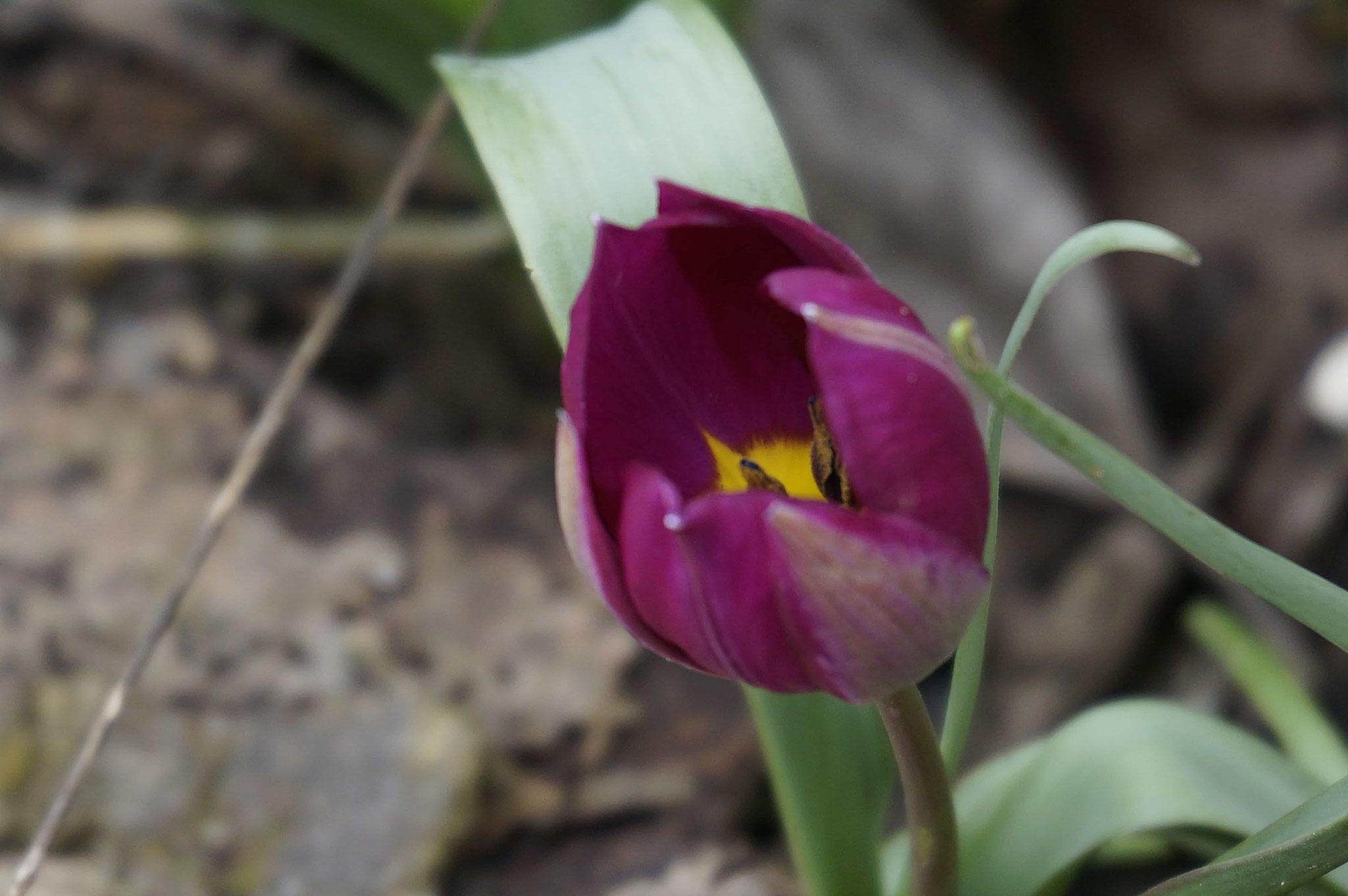 Wildtulpe im Frühjahr