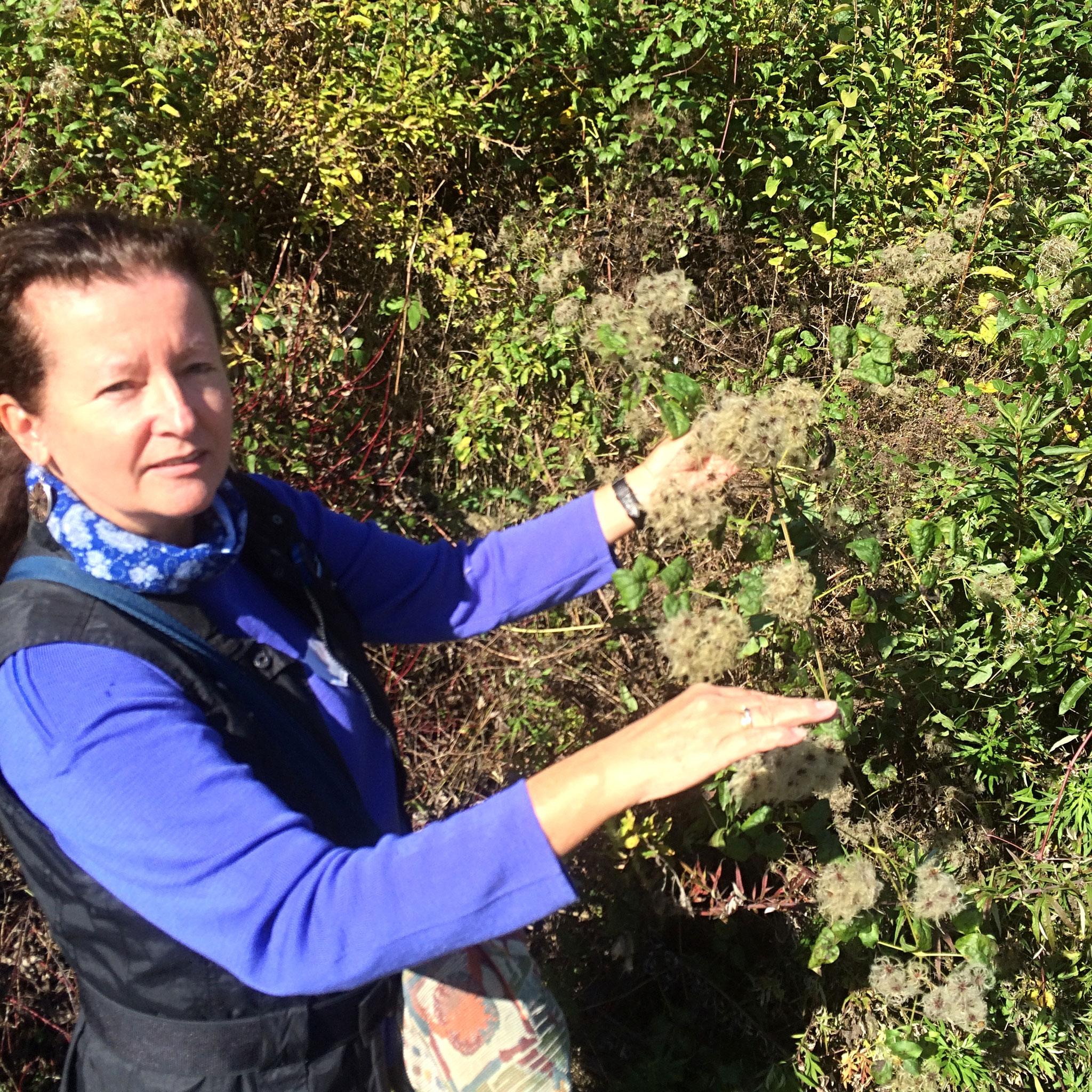 Waldrebe - eine richtige Baumwürgerin