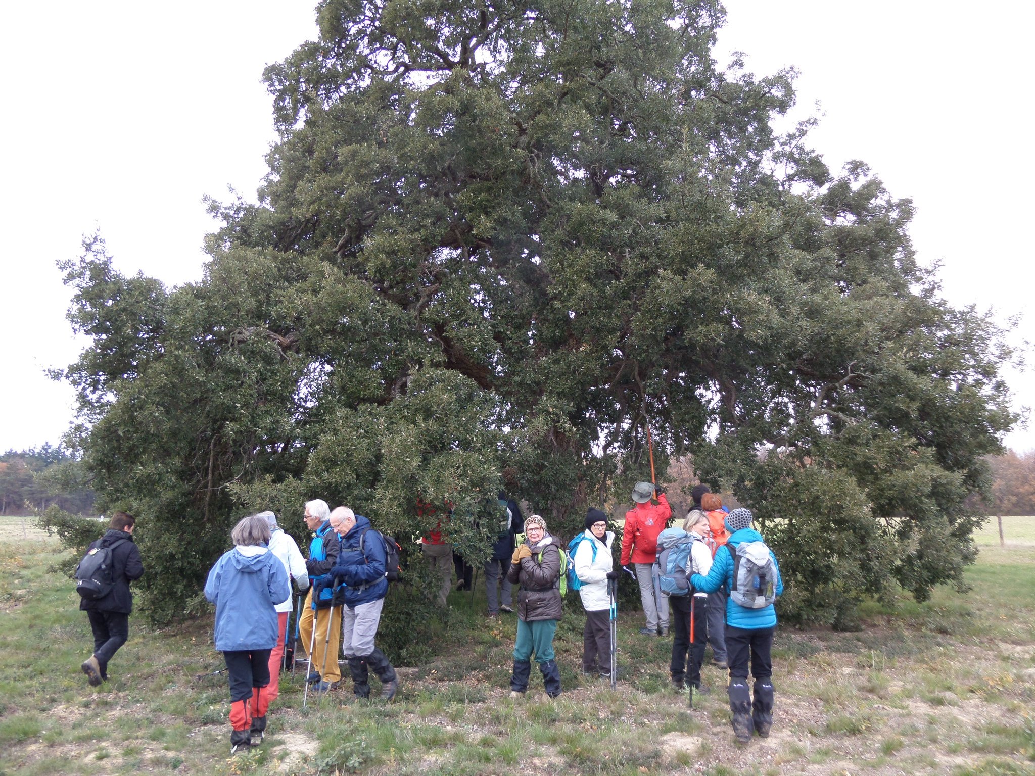 l'arbre tricentenaire de Puydaniel 19 déc 2016