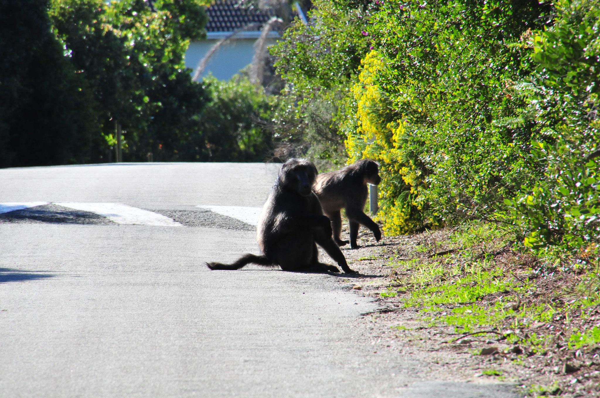 Paviane auf der Strasse