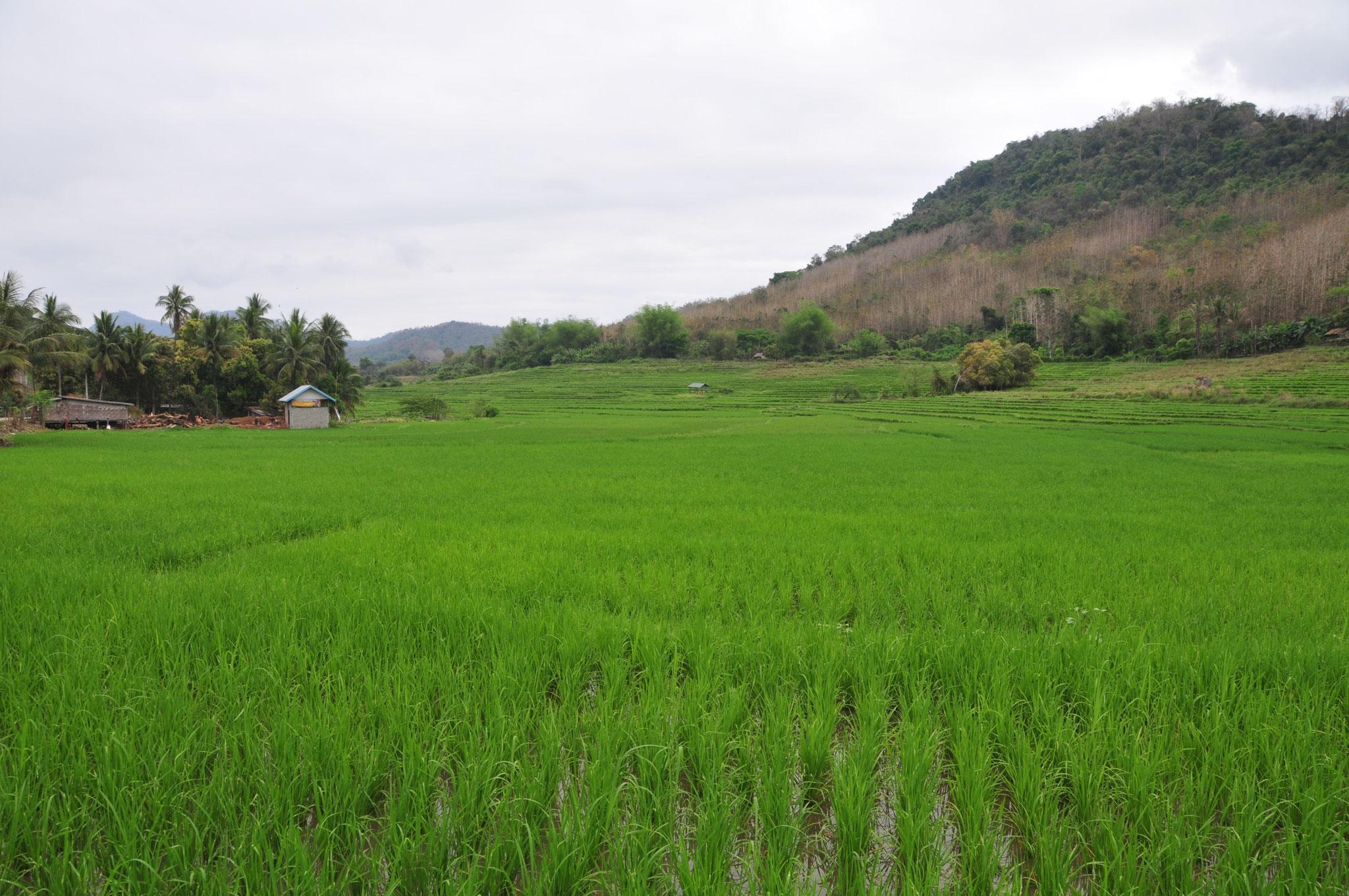 Das kräftige Grün der Reisfelder