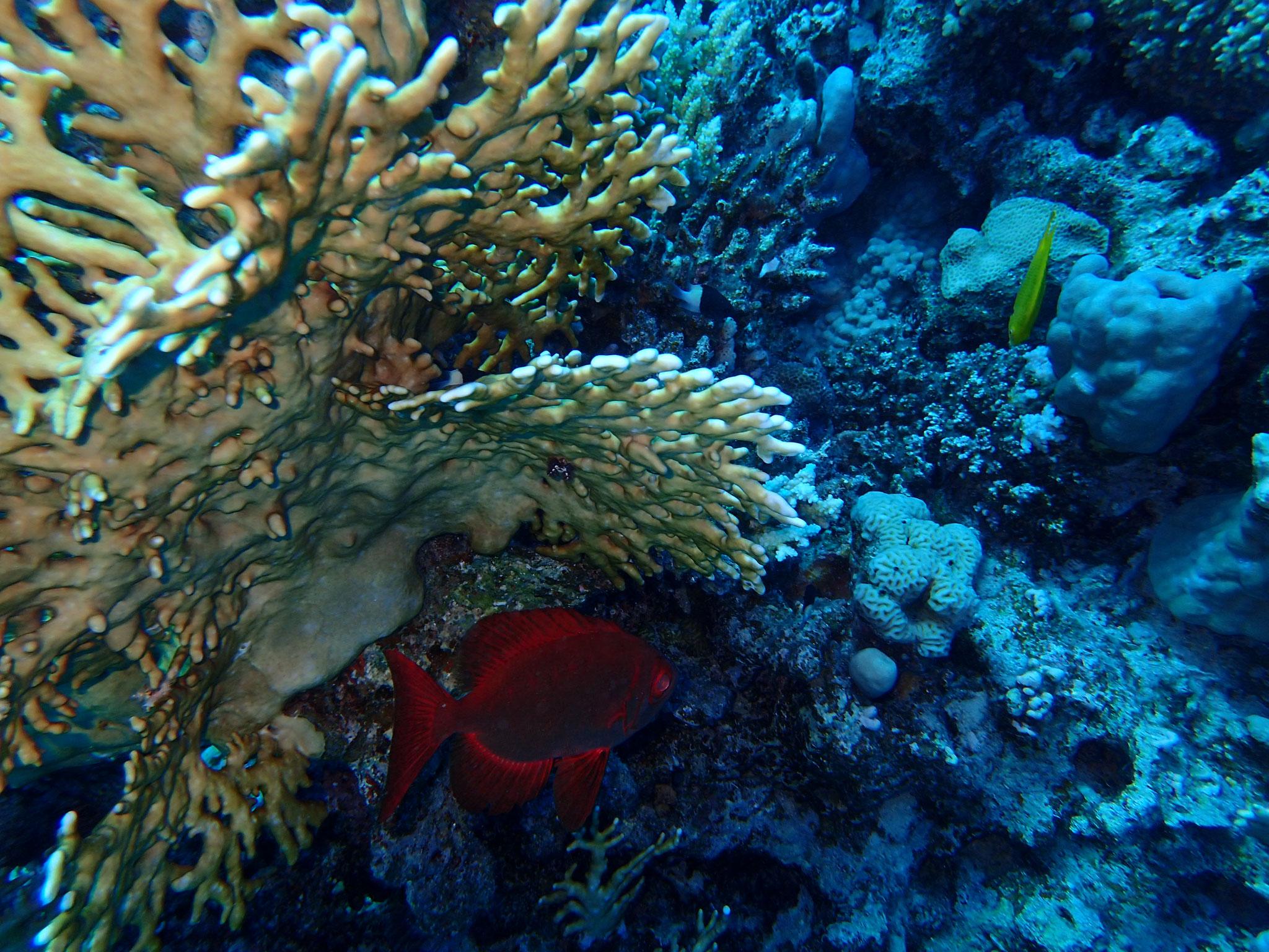 Roter Riff-Grossaugenbarsch