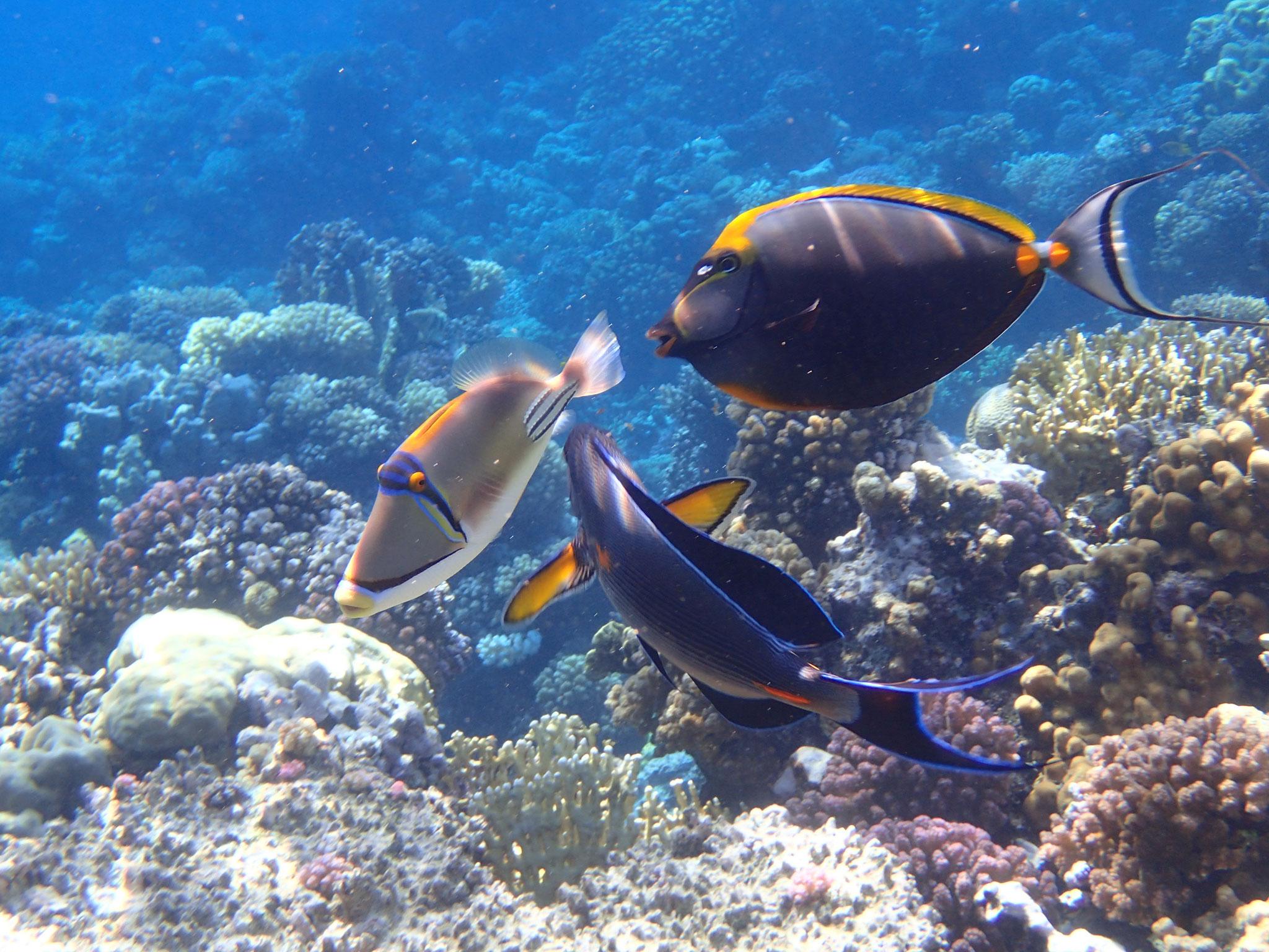 Arabischer Doktorfisch (ur), Gelbklingen Nasendoktorfisch (or) und der arabische Picassodrücker