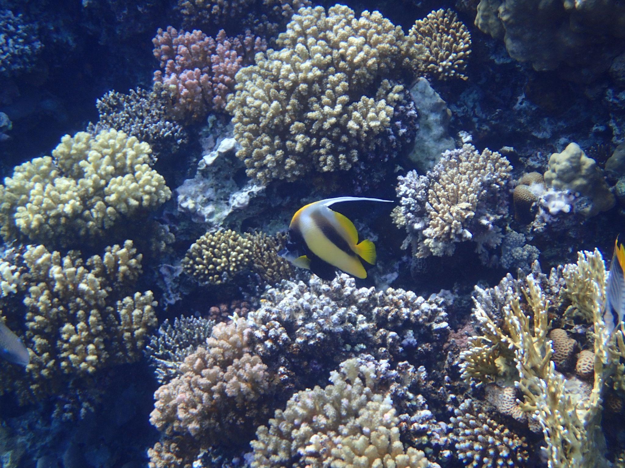 Rotmeer Wimpelfisch