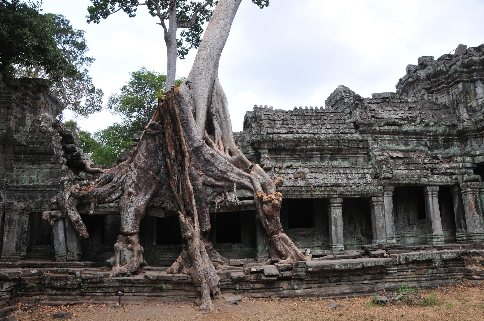 Im Laufe Jahrhunderte überwuchern die Baumwurzeln die  Tempelanlagen (hier wurde Tomb Raider gedreht)