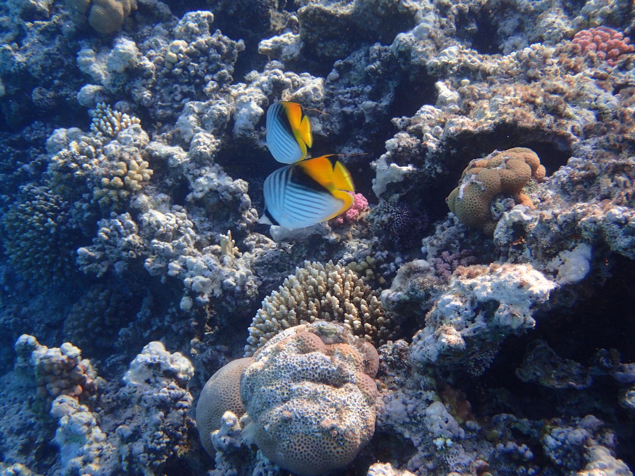 Fähnchen Falterfisch