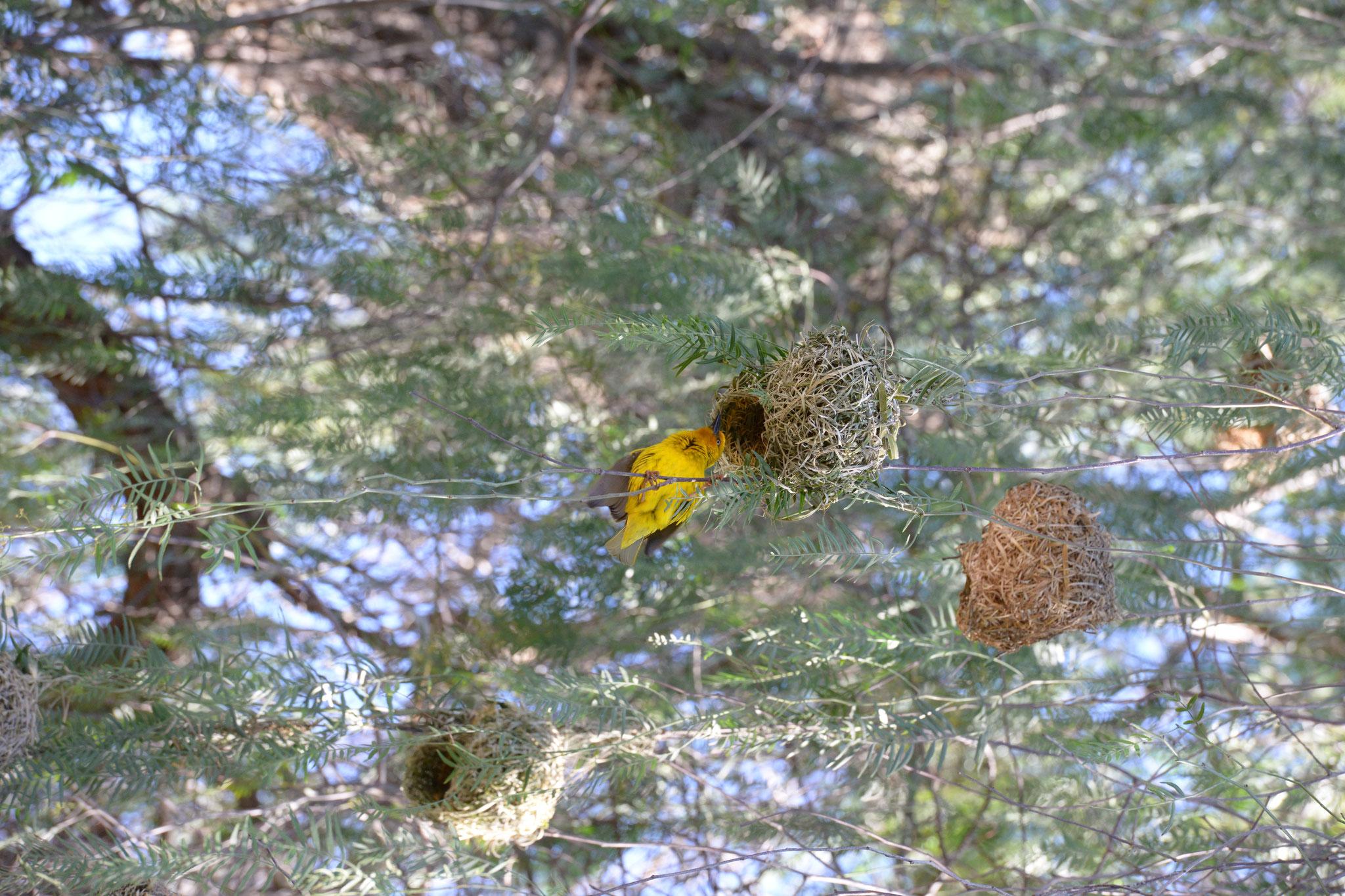 Der Webervogel beim Nestbau