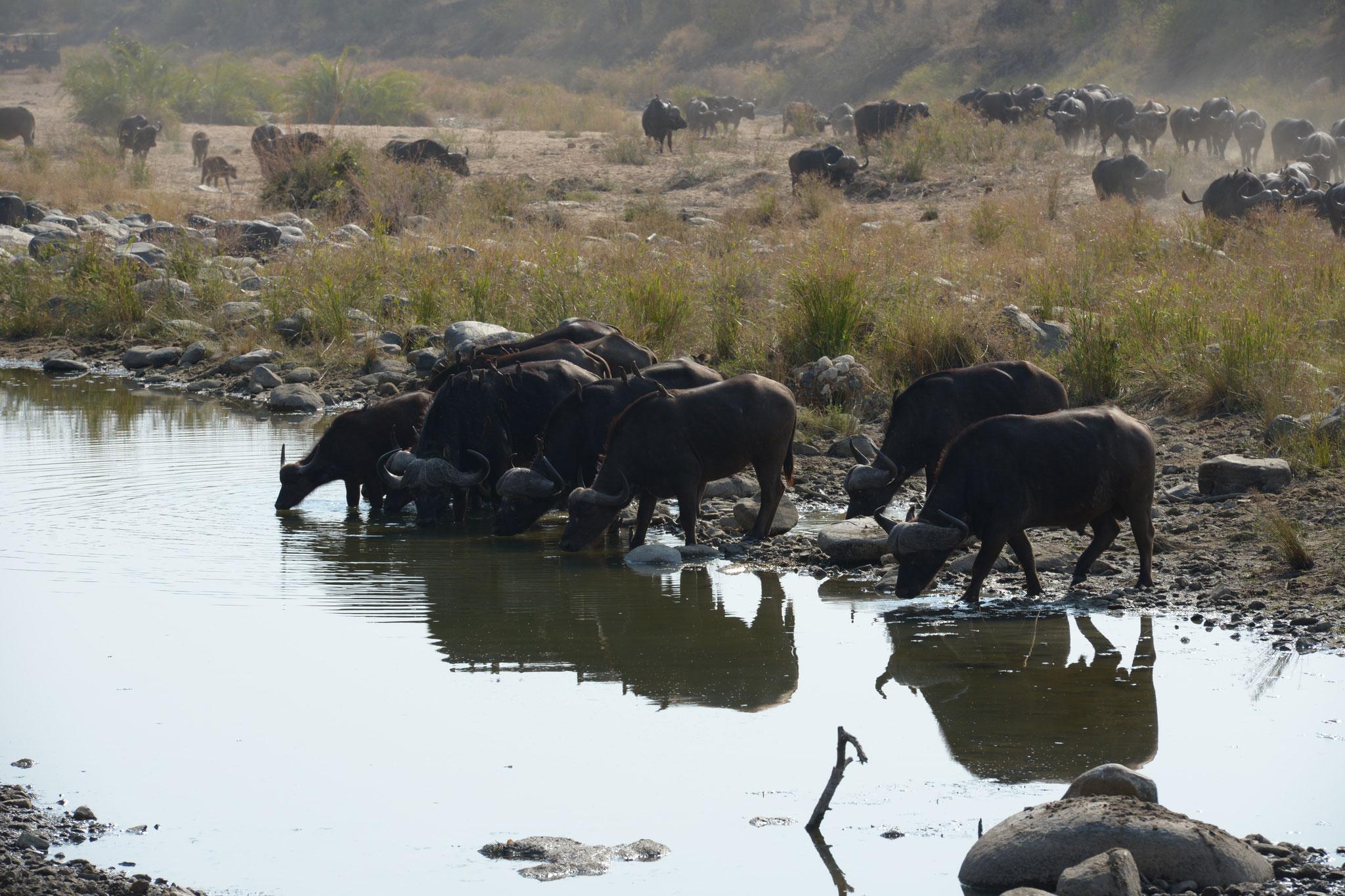 ...Sichtung einer durstigen Büffelherde