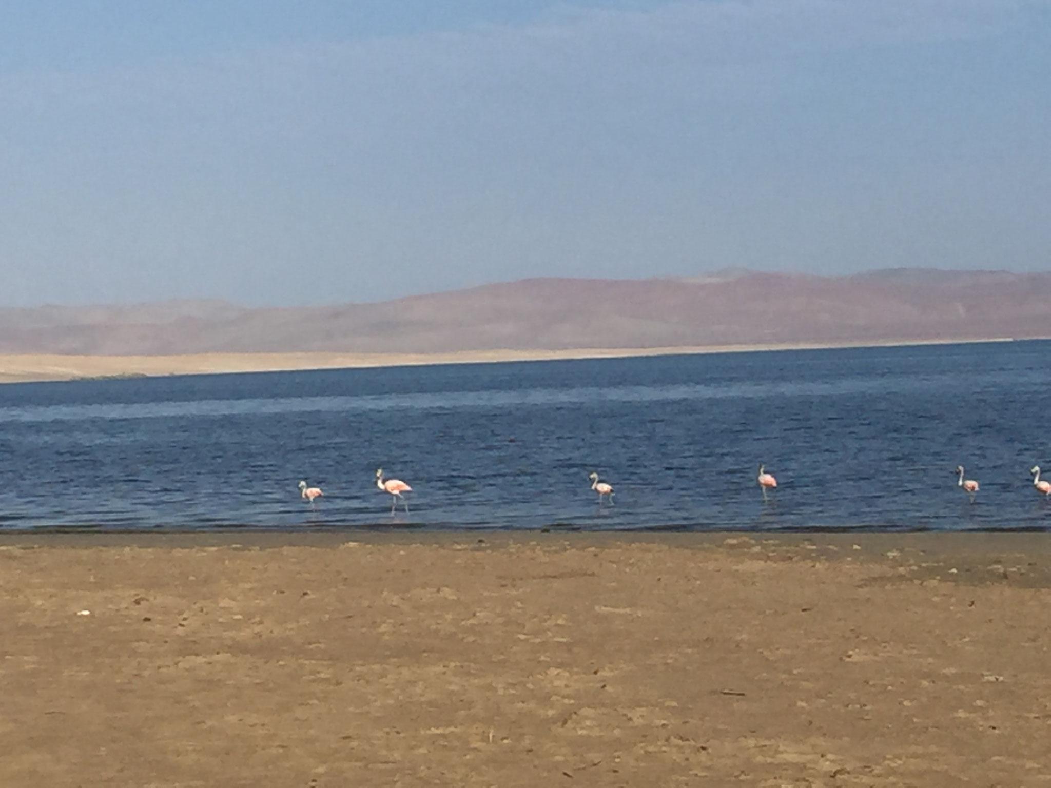 ----- und morgens die Flamingos