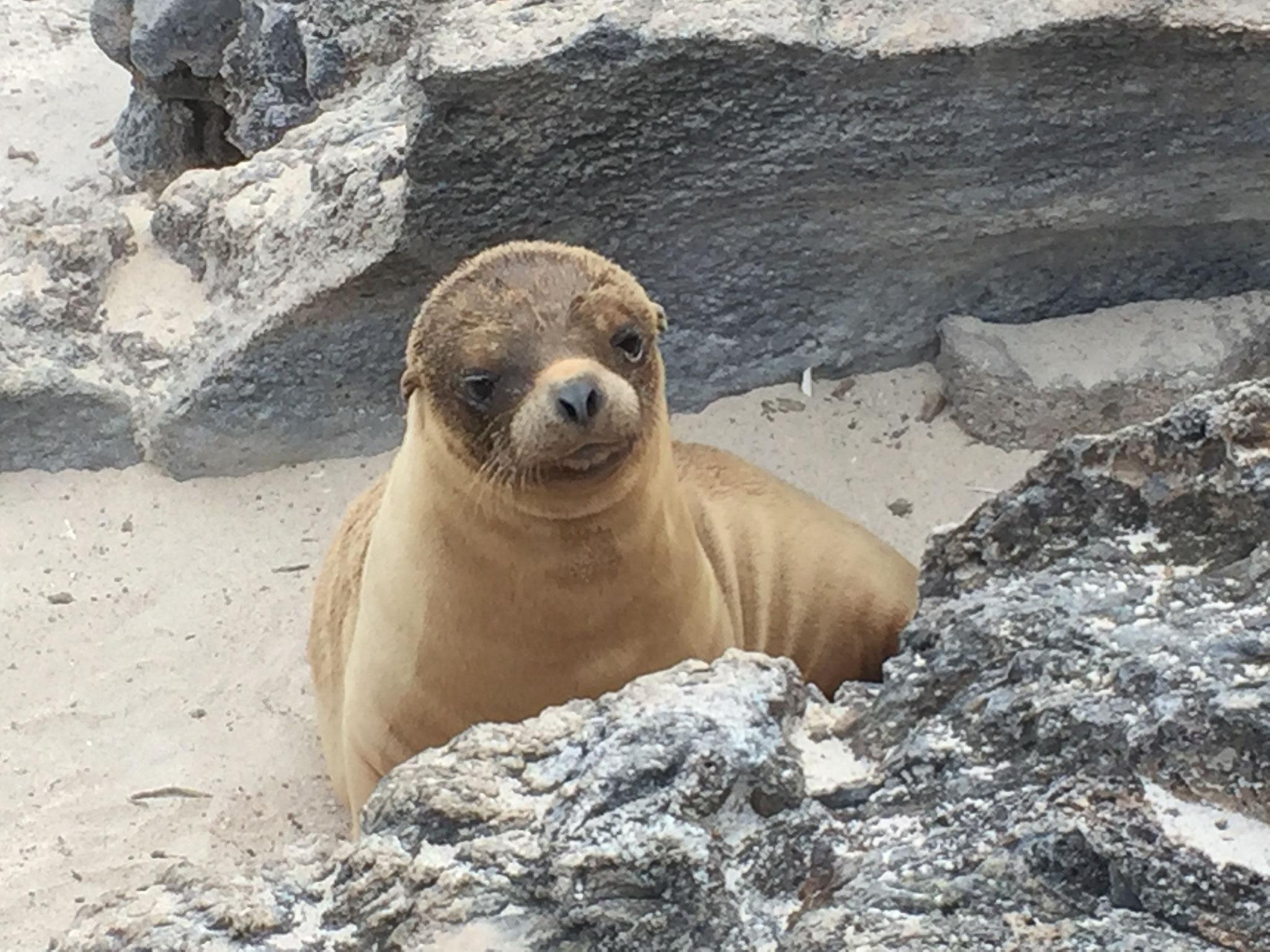 Seelöwenbaby