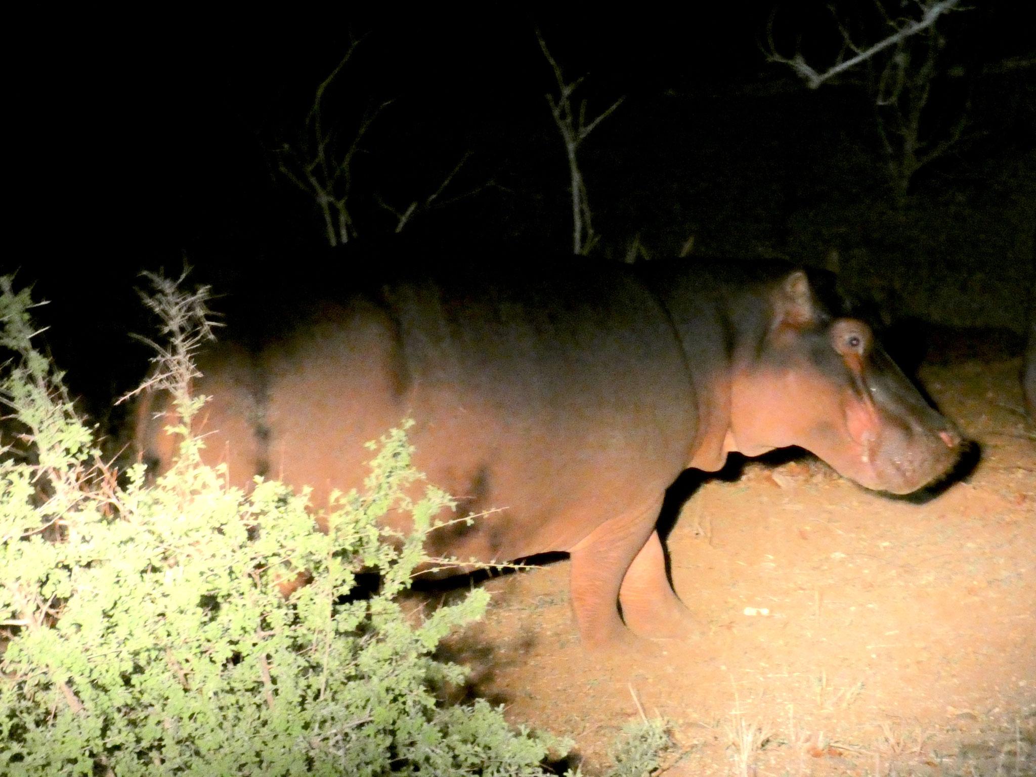 Nilpferd bei Nacht