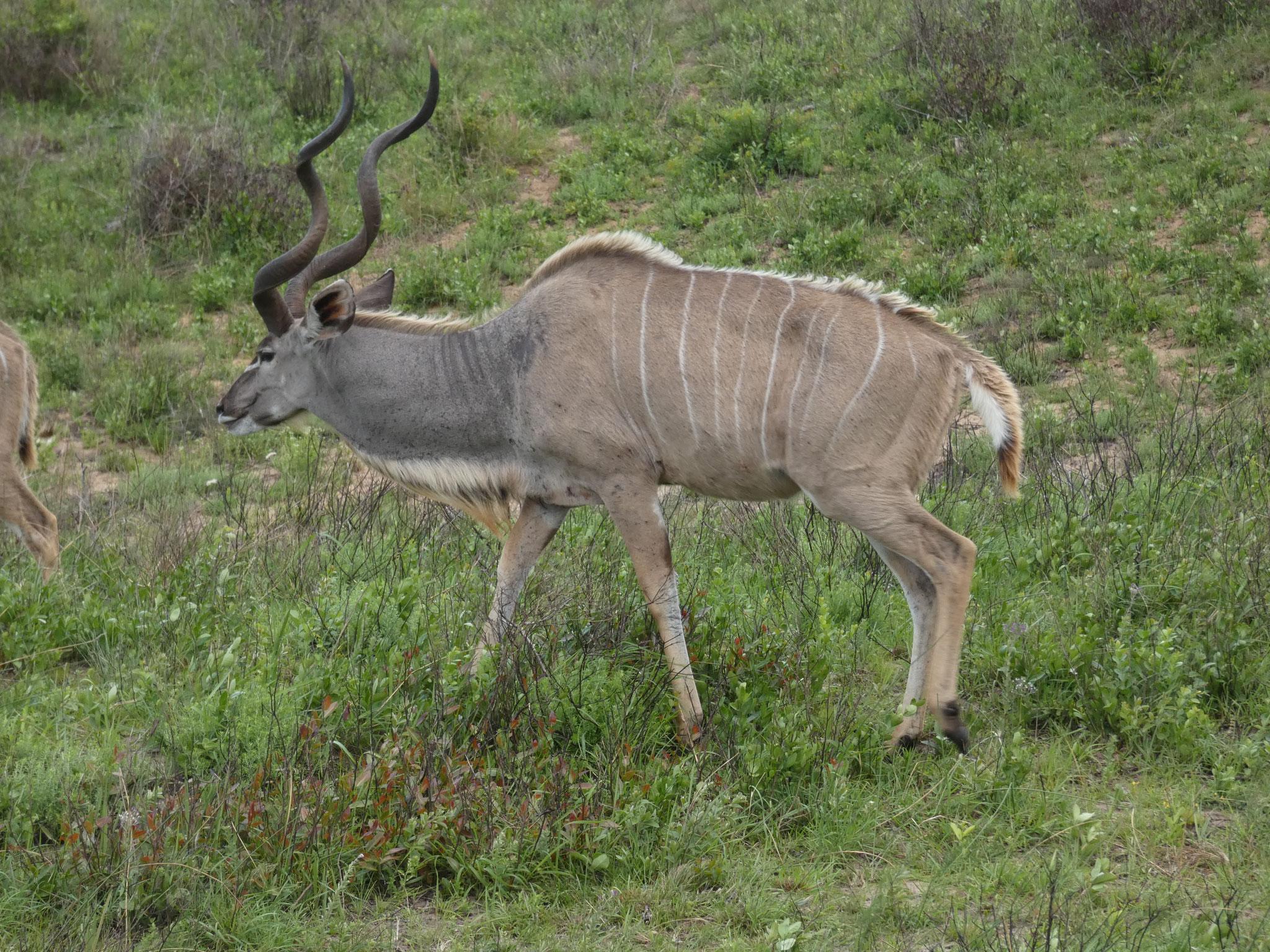 Grosser Kudu, Männchen und