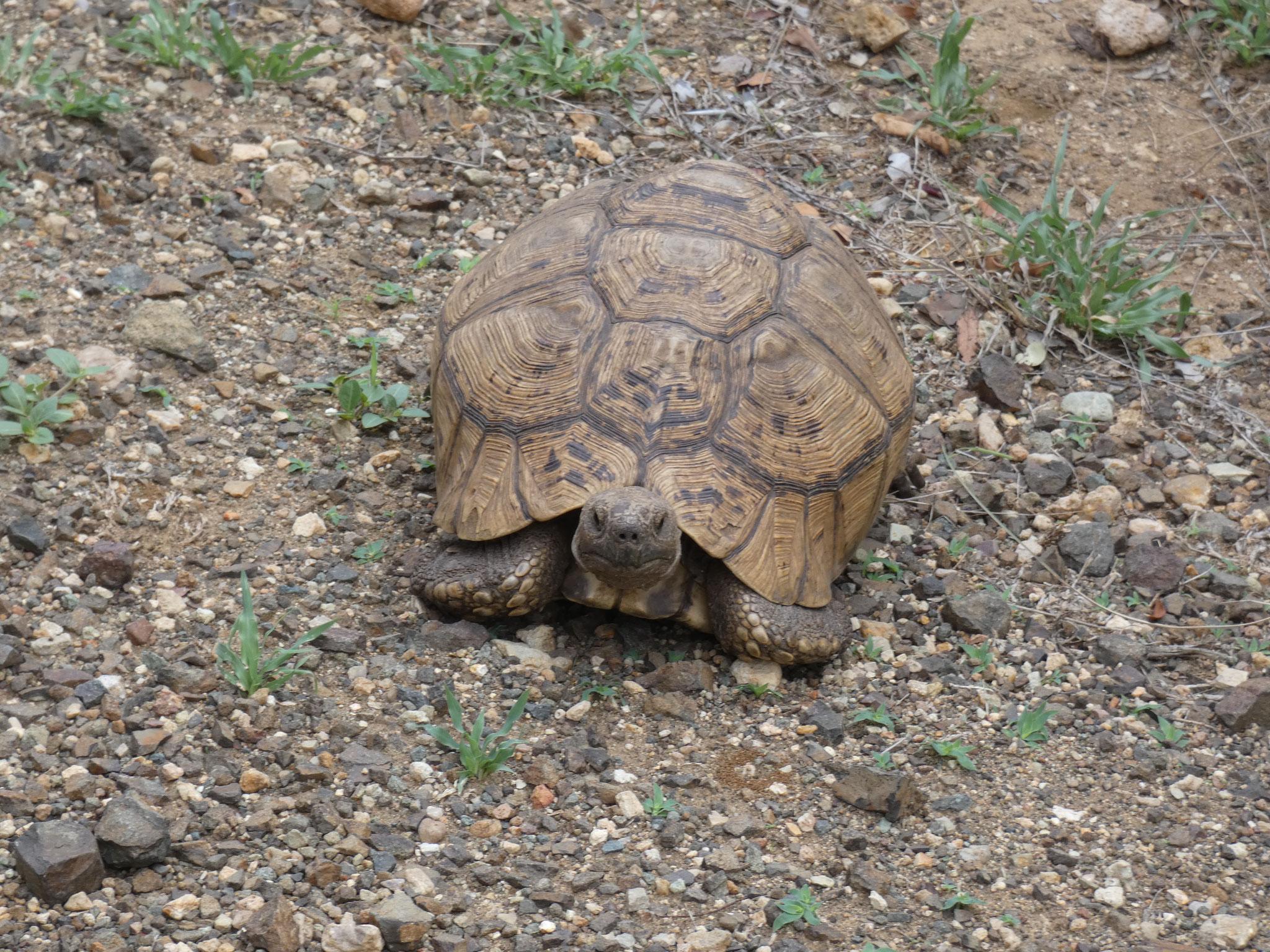 Natal Gelenschildkröte