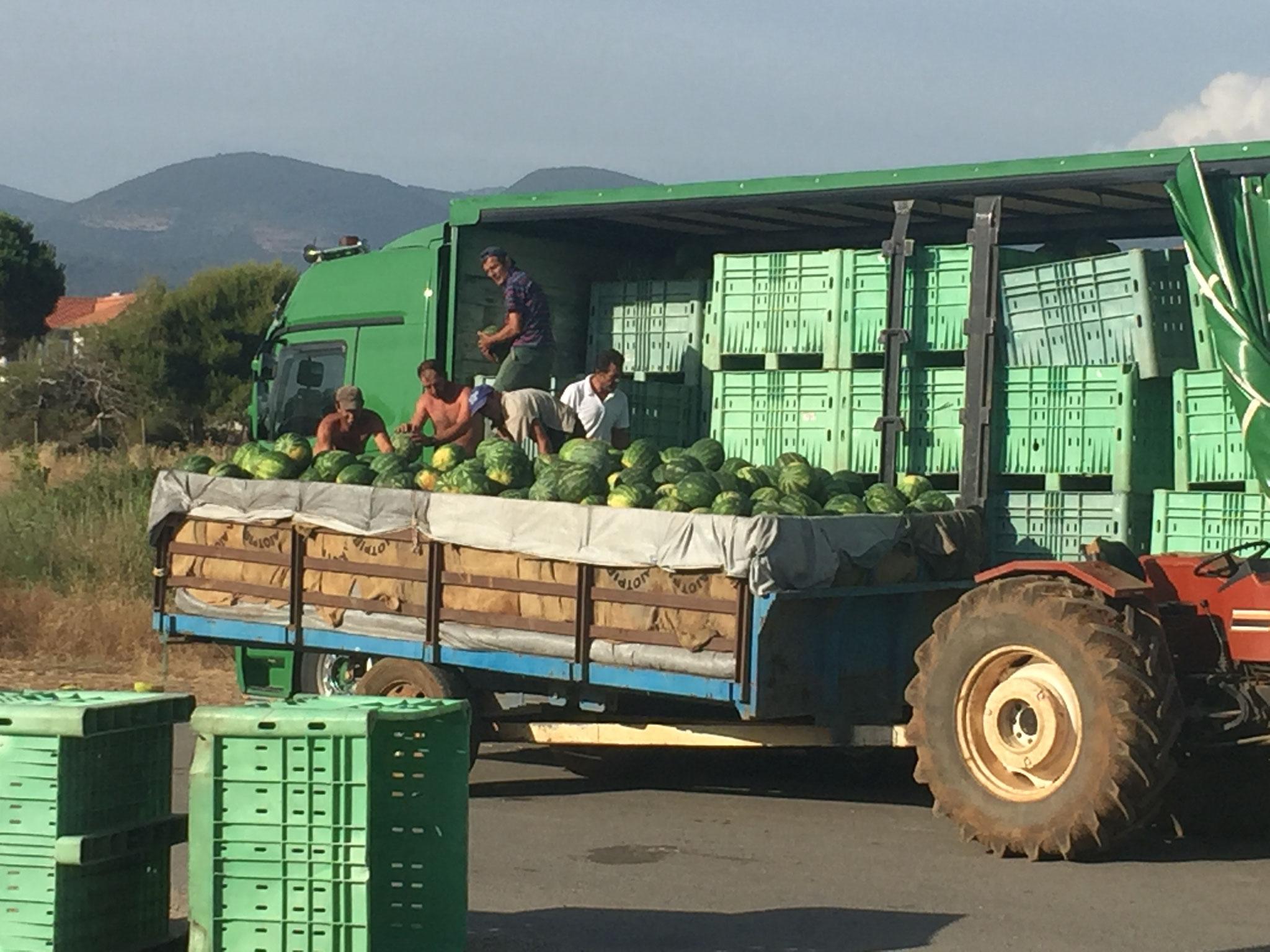 Melonen werden abtransportiert