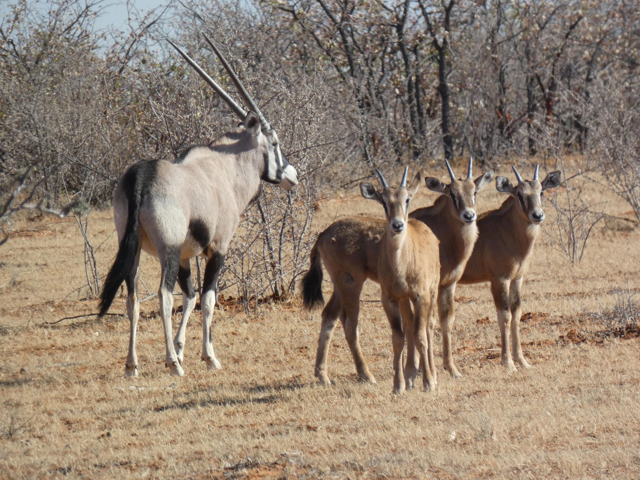 Oryx mit Jungen