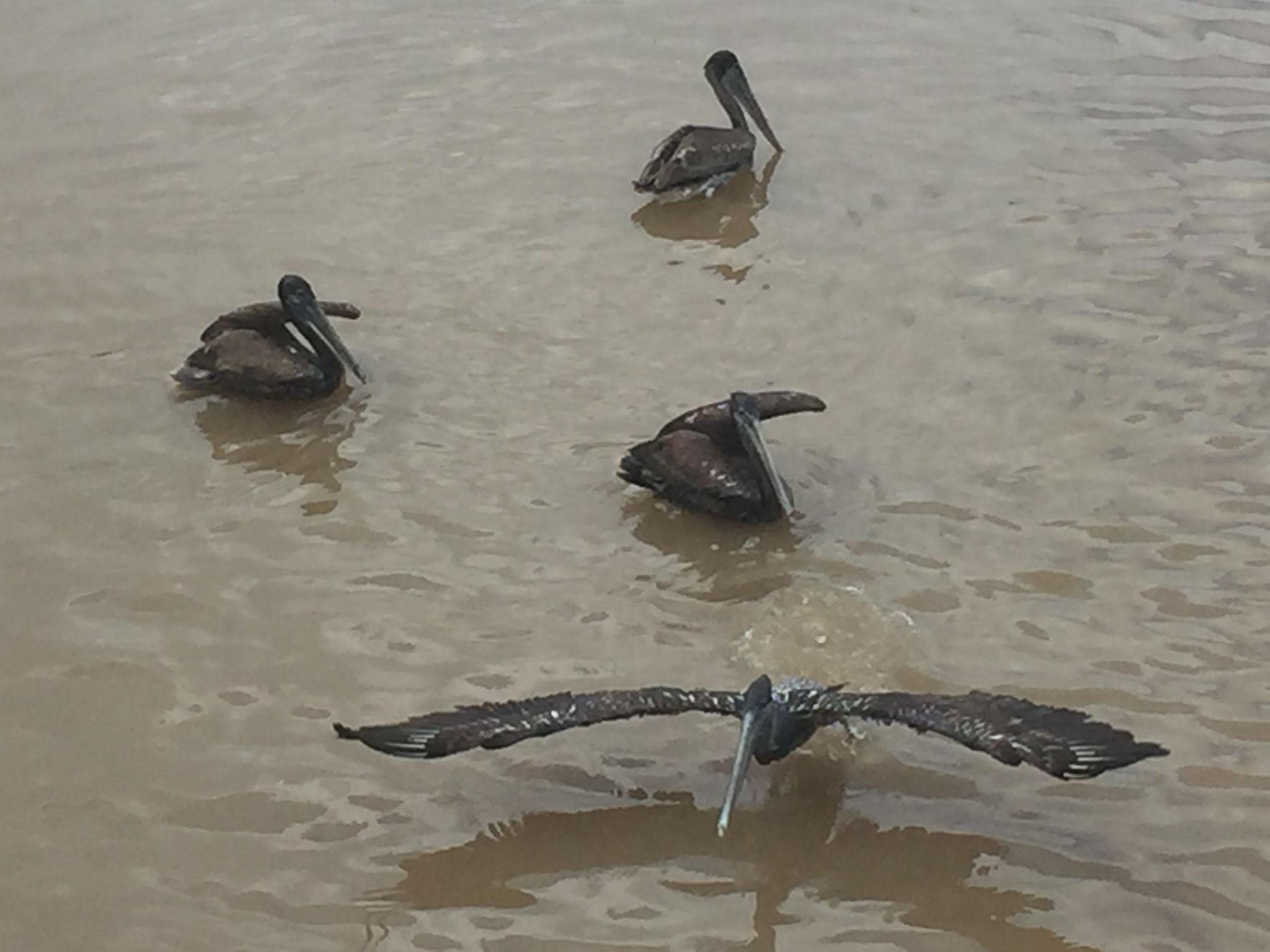 ..... Pelikane