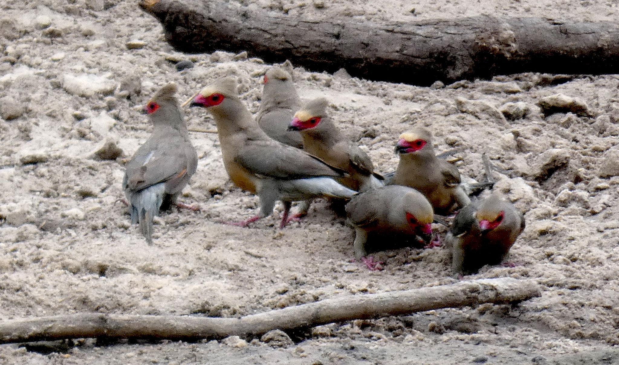 Rotzügelmausvogel