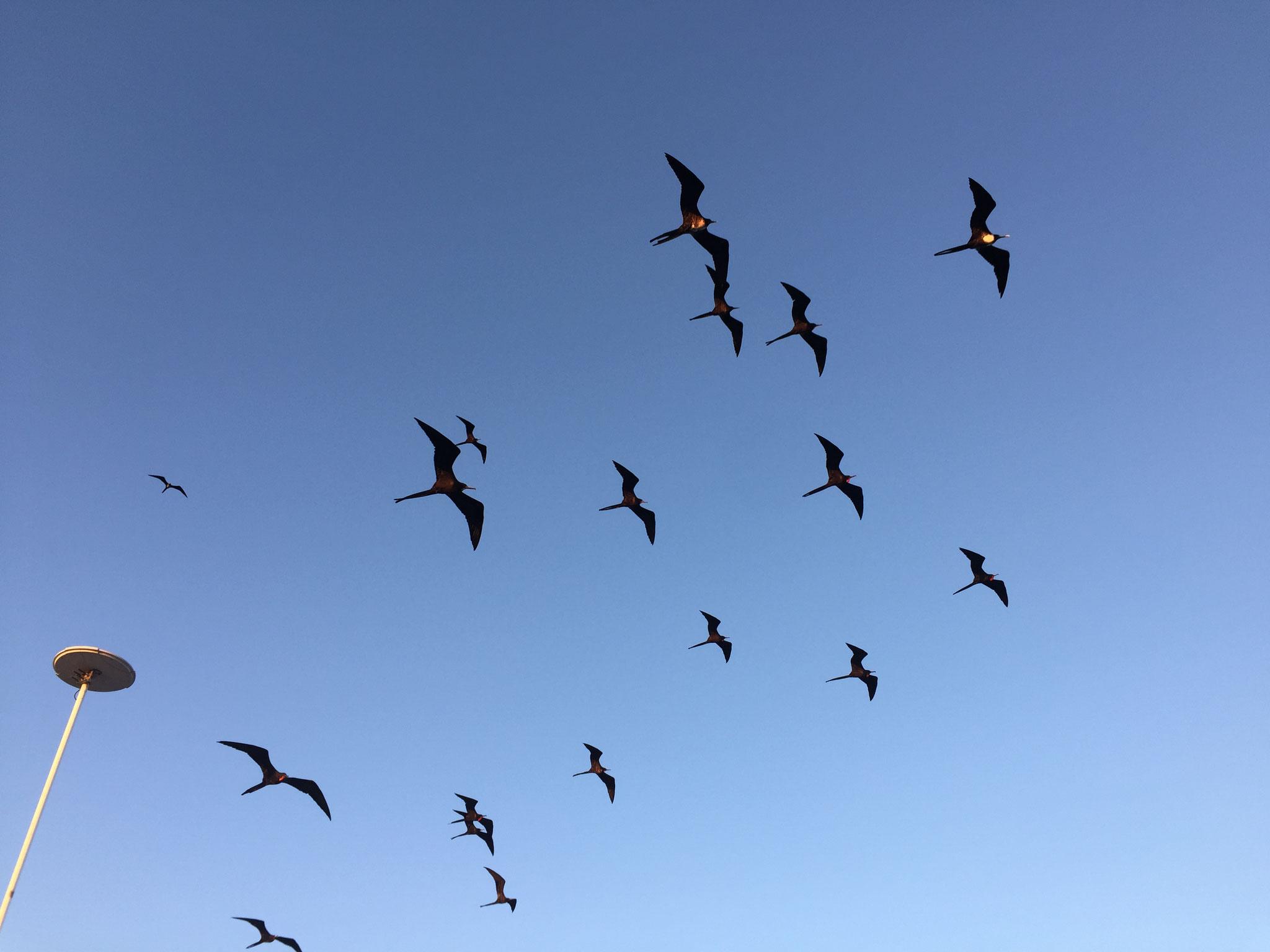 Fregattevögel begleiten das Schiff