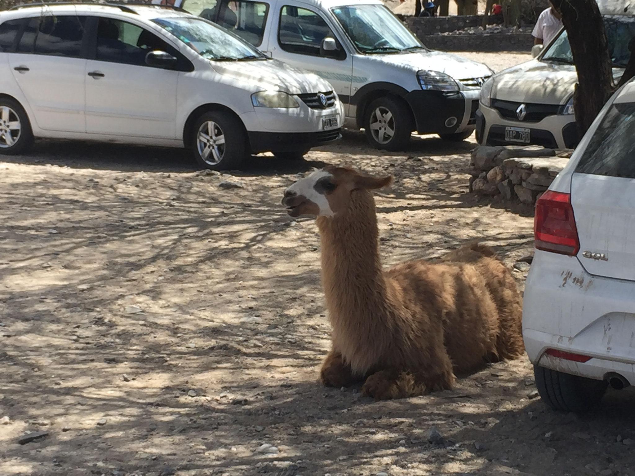 unser erstes Lama...