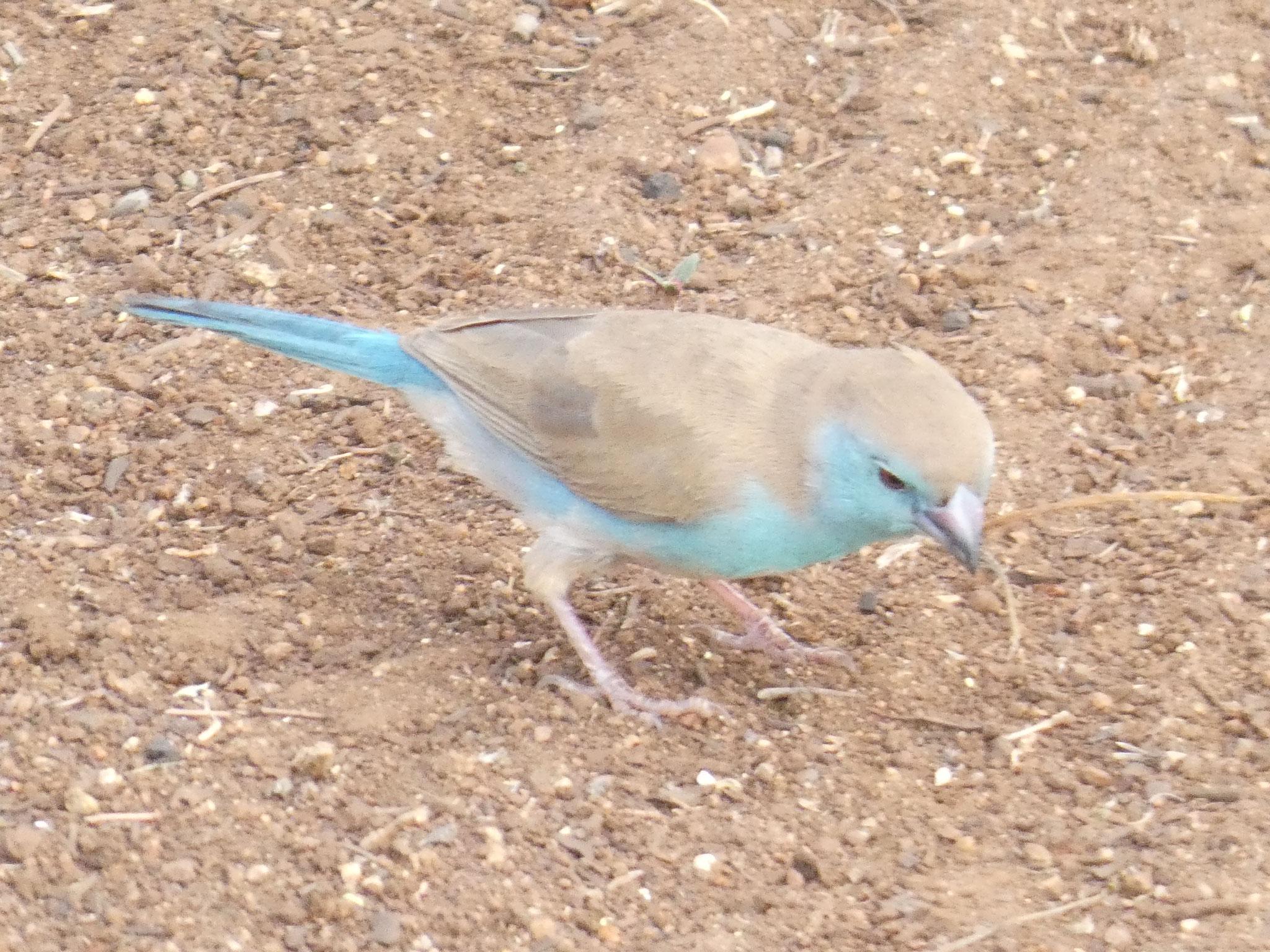 Angolaschmetterlingfink